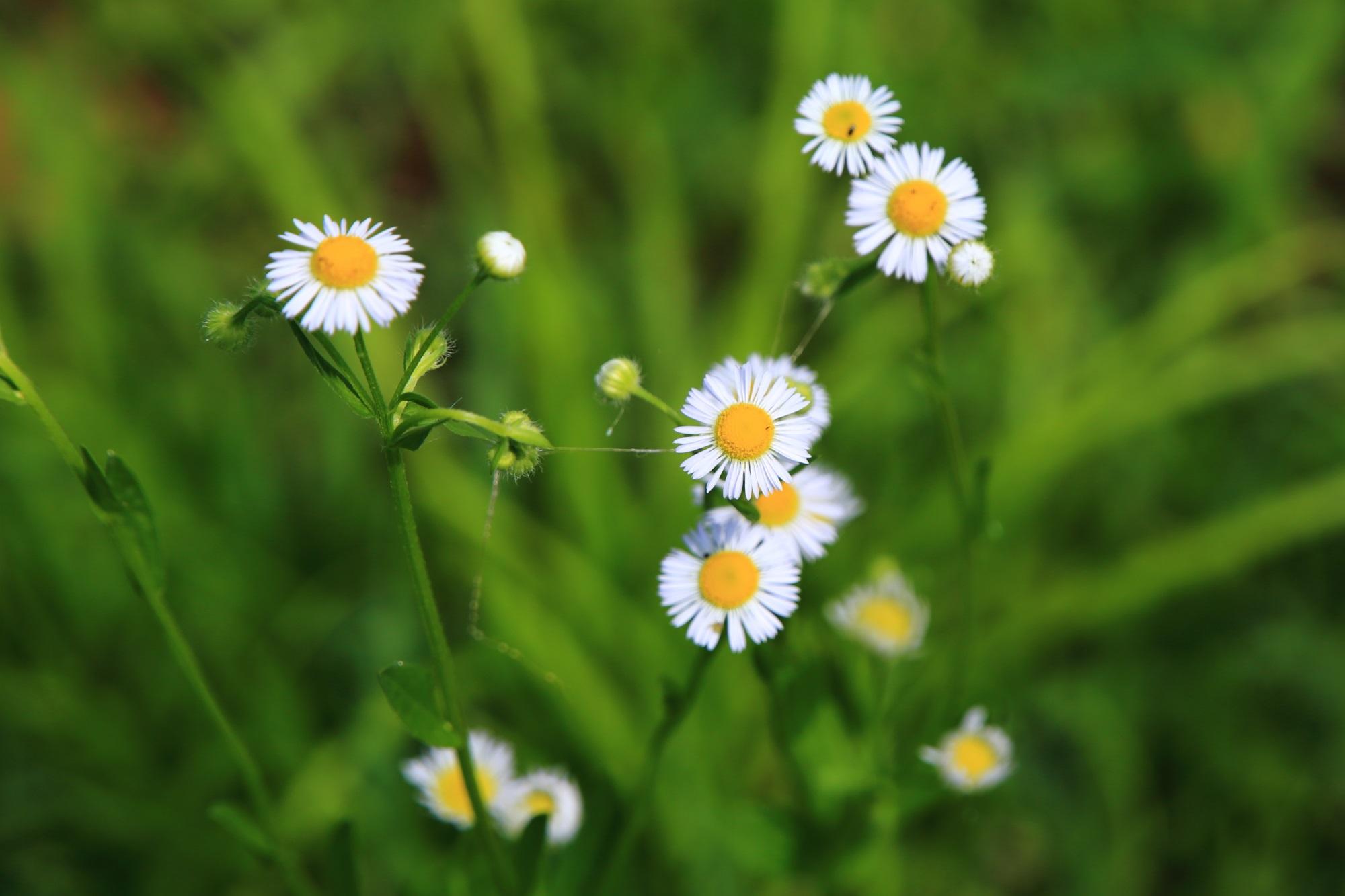 大覚寺大沢池畔の淡い緑に映える白と黄色の野花