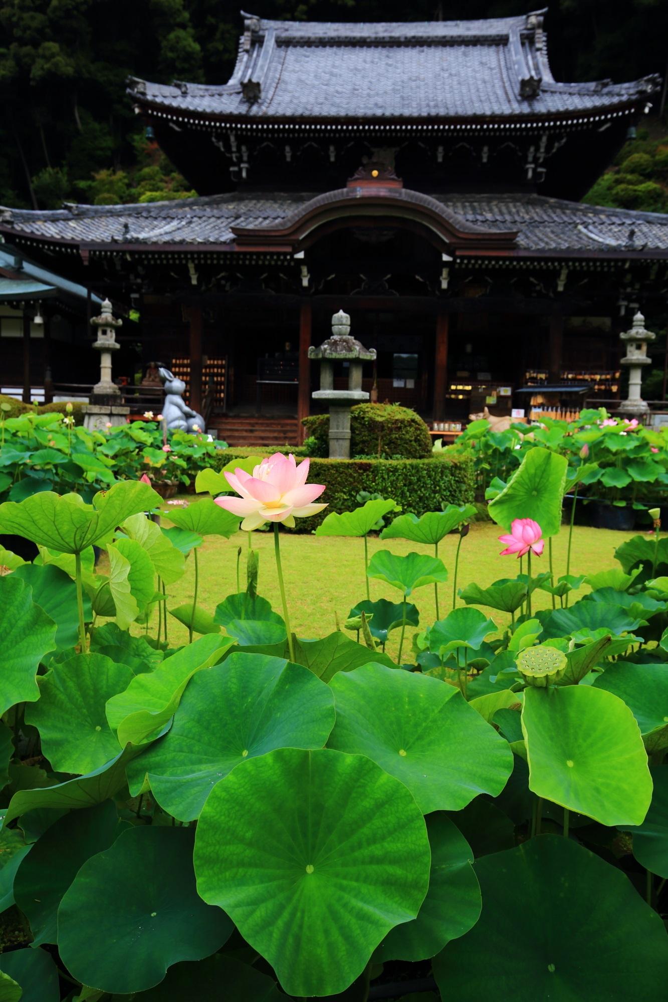 花もさることながら丸い緑の蓮の葉も綺麗な三室戸寺