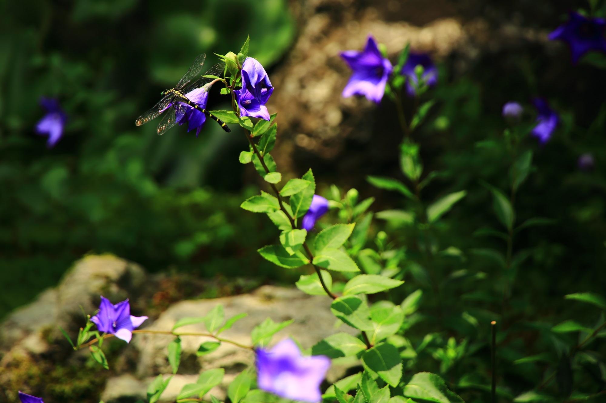 天得院の桔梗の花で休憩するトンボ