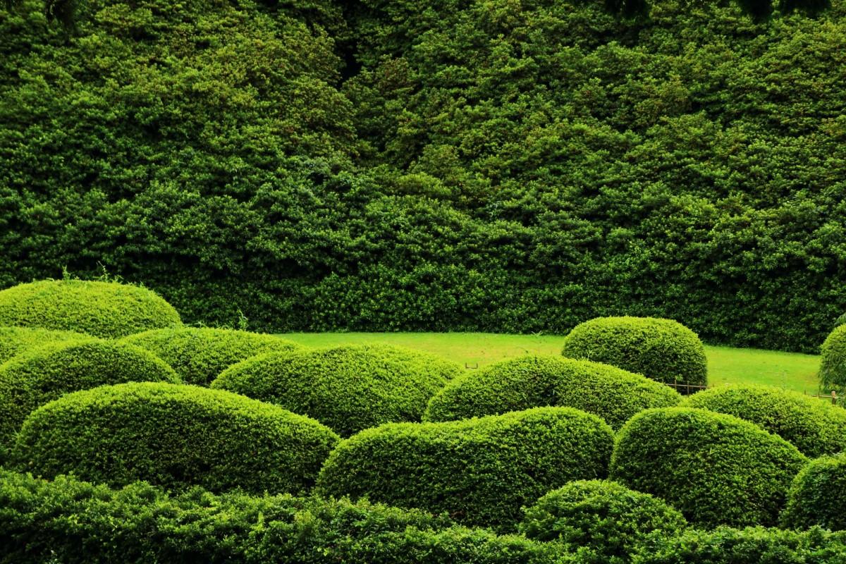 多様な色合いがある三室戸寺のつつじ園の緑のツツジ