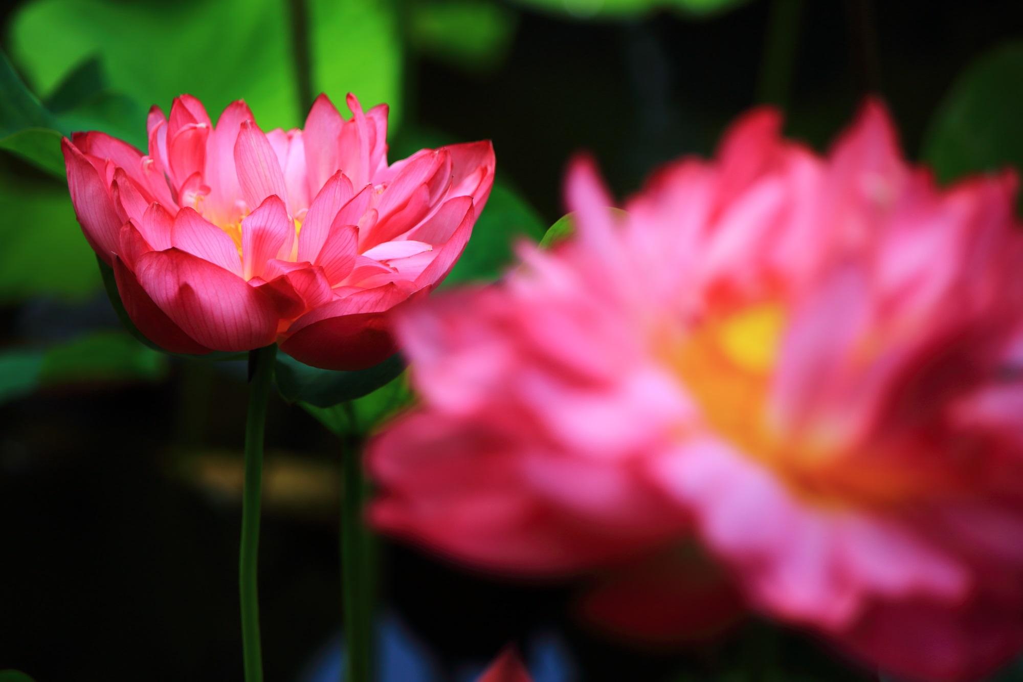 柔らかな炎が灯るように咲く勧修寺のはすの花