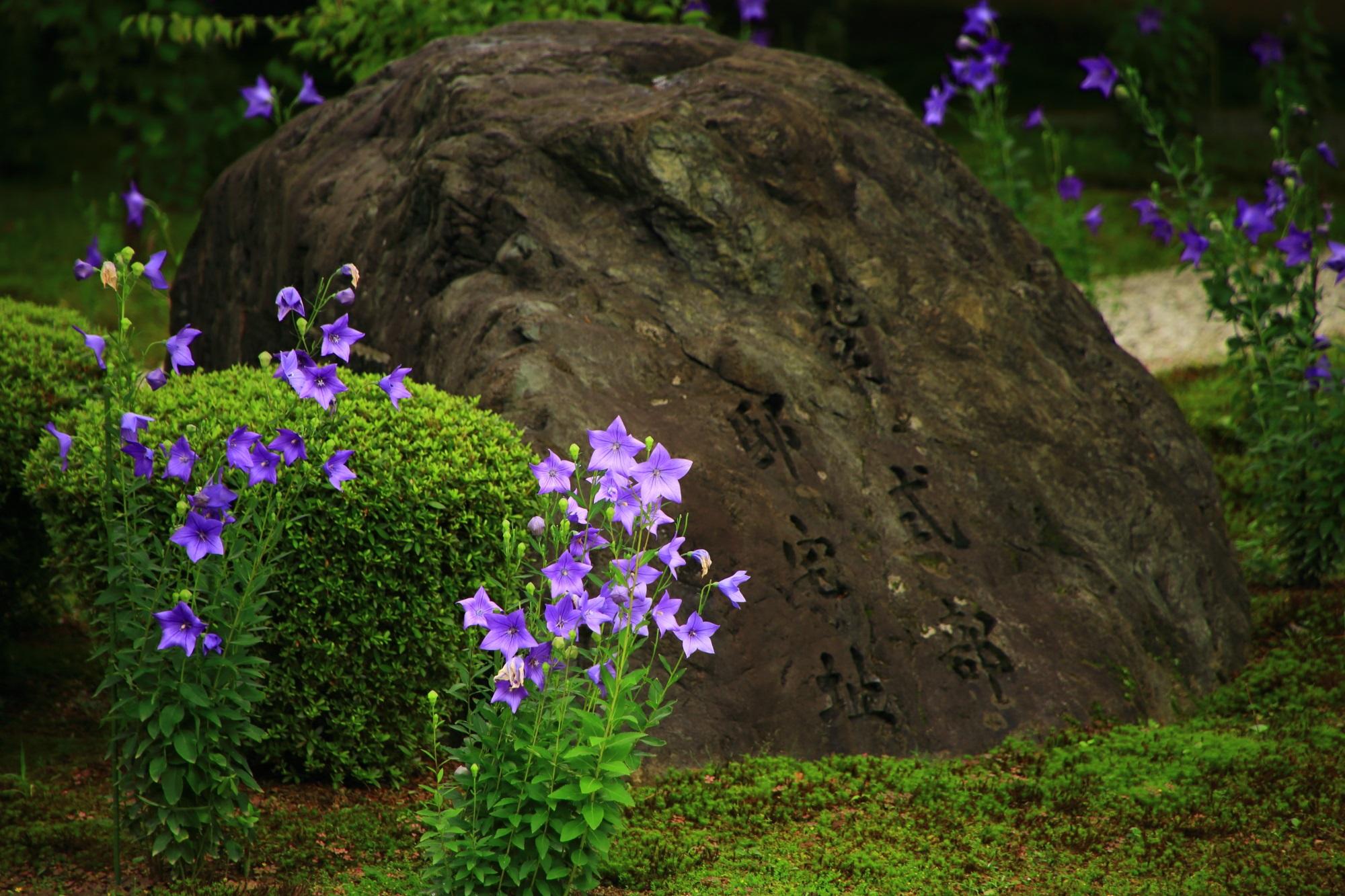 花びらをいっぱいに広げて咲き誇る元気いっぱいの桔梗