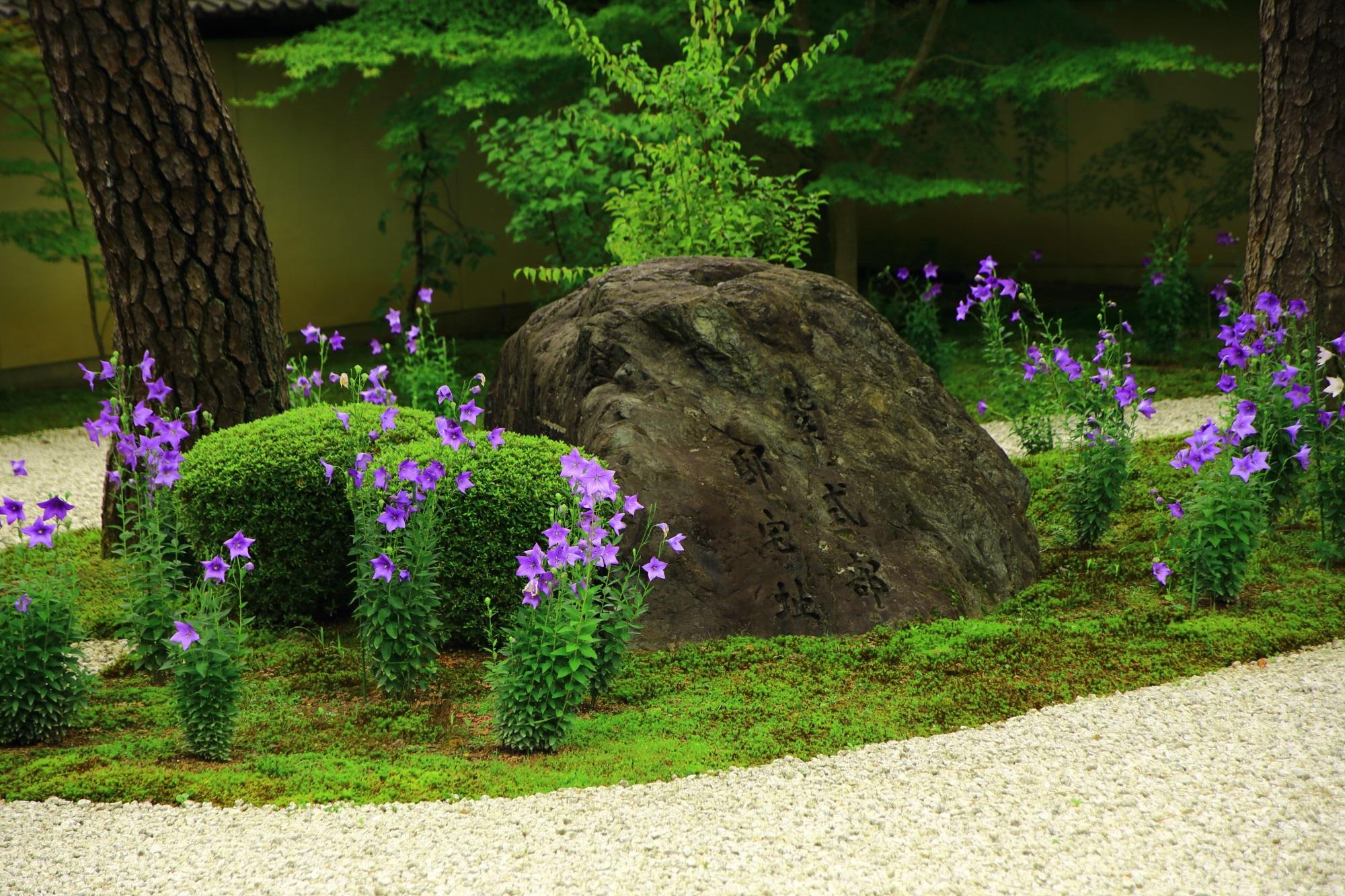 廬山寺の源氏庭の紫式部顕彰碑付近の華やかな桔梗
