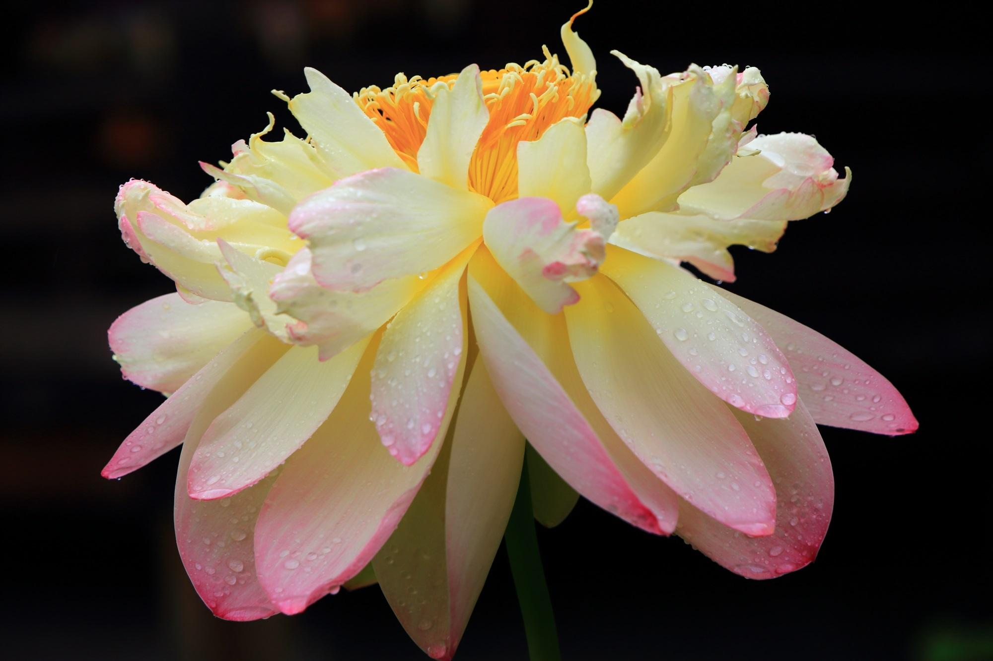 三室戸寺の花びらの先がピンクに染まった淡い白色の蓮の花