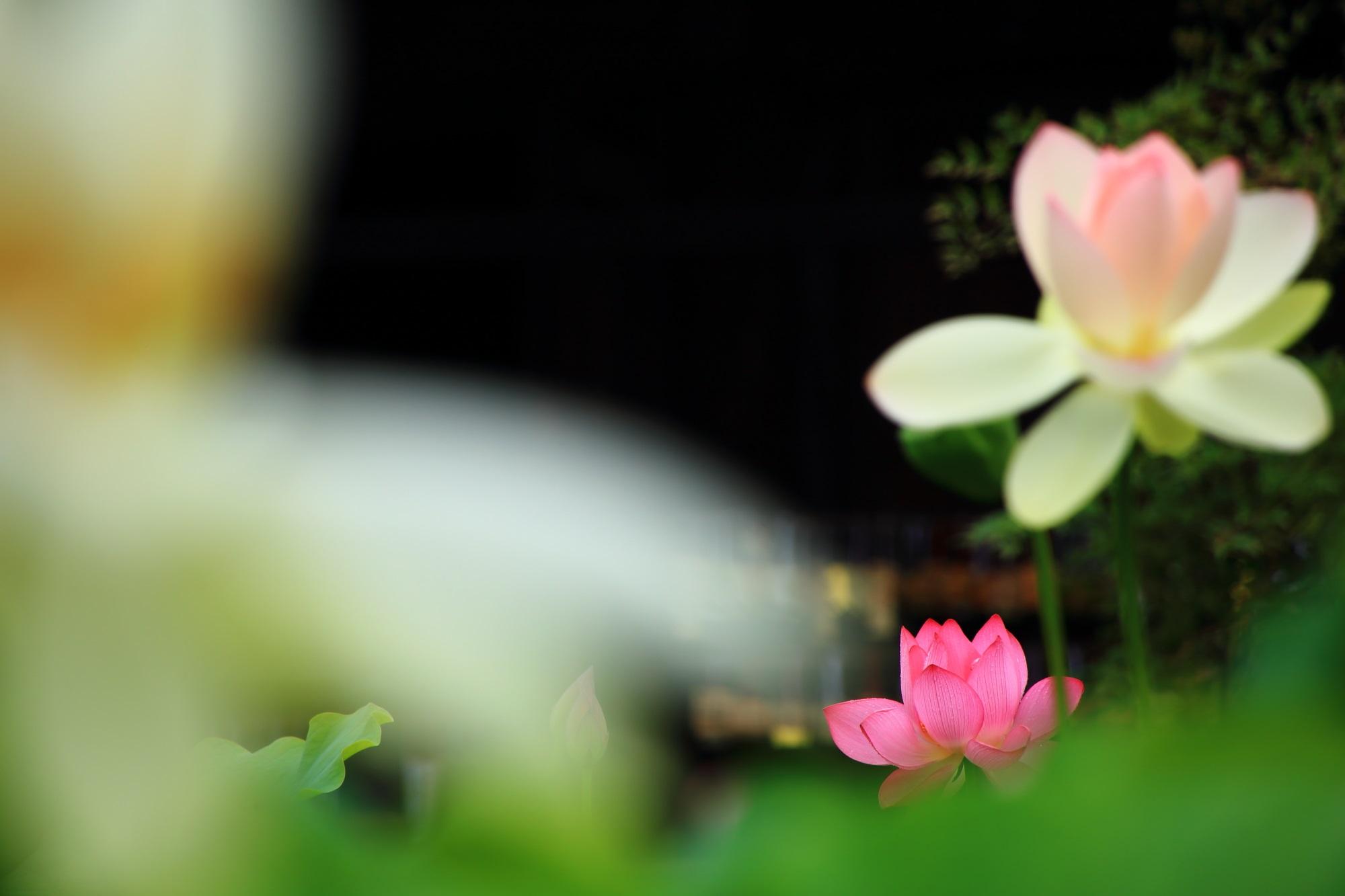 白やピンクなどの色とりどりの蓮の花につつまれる夏の三室戸寺