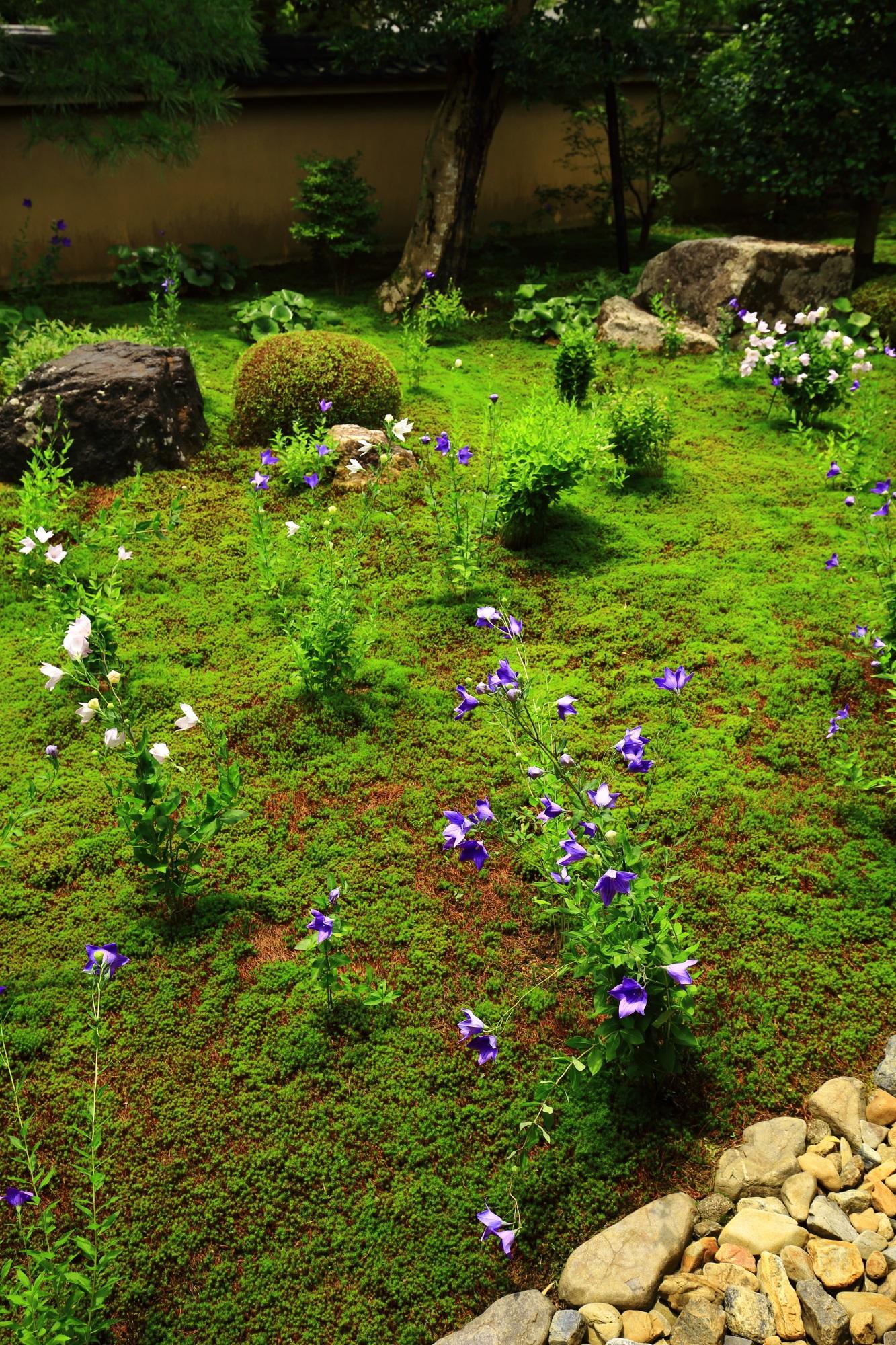 桔梗もさることながら苔や緑も綺麗な天得院の枯山水庭園