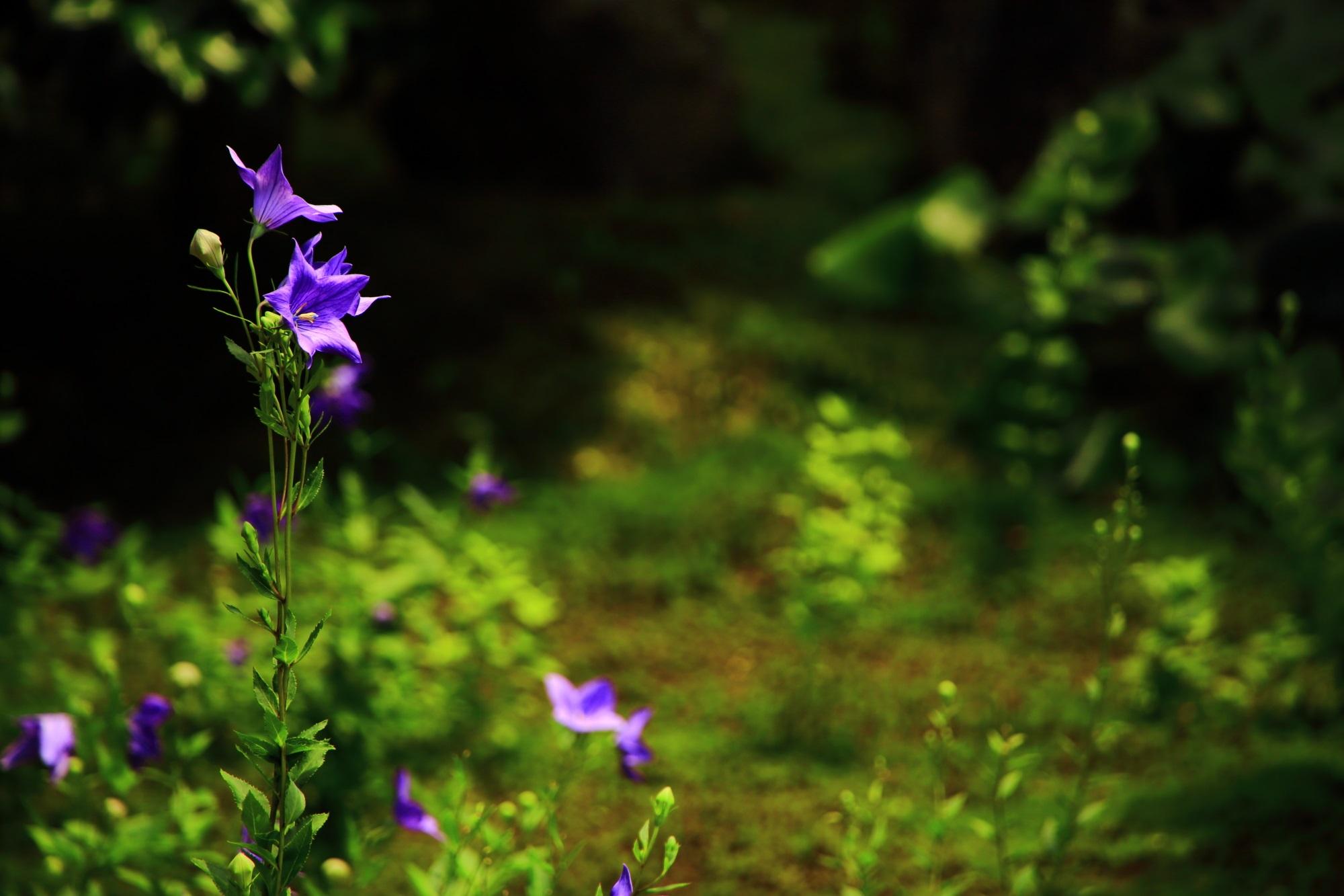 眩い緑の上で煌びやかに咲き誇る紫の桔梗