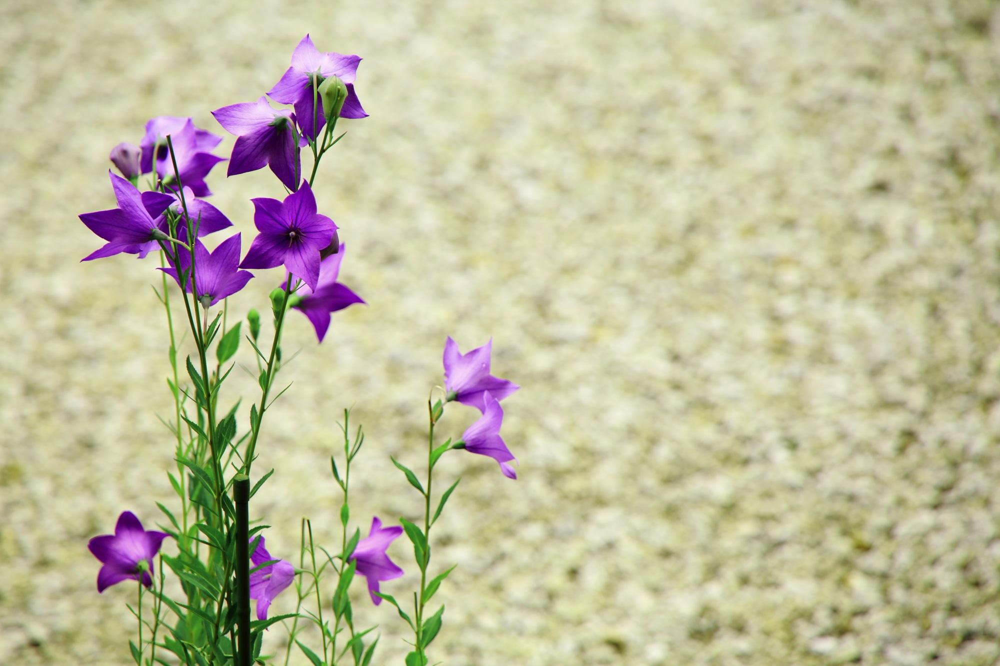 廬山寺の白砂にも映える鮮やかな桔梗の花