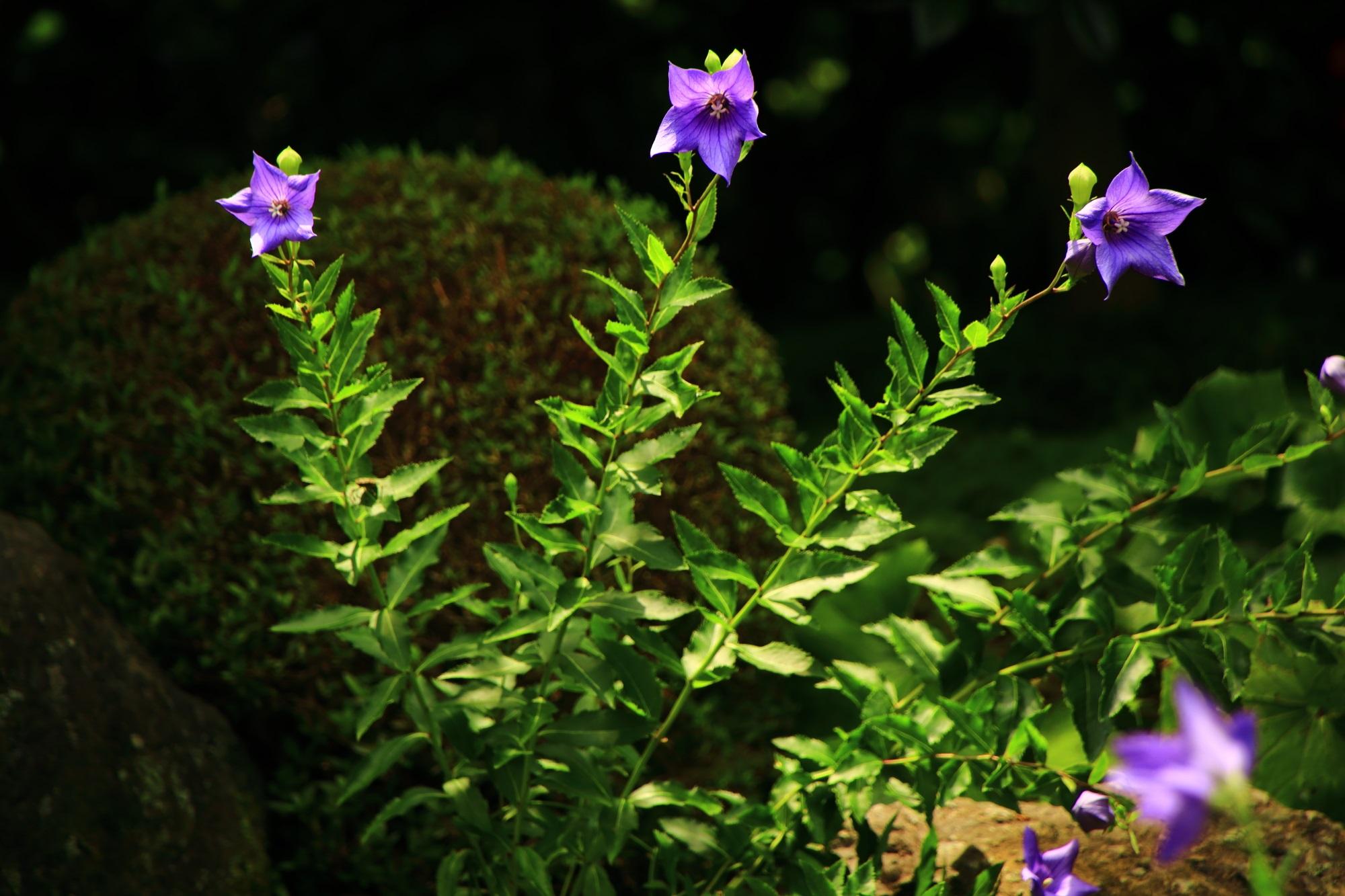 何となく楽しそうに咲く天得院の紫の桔梗の花