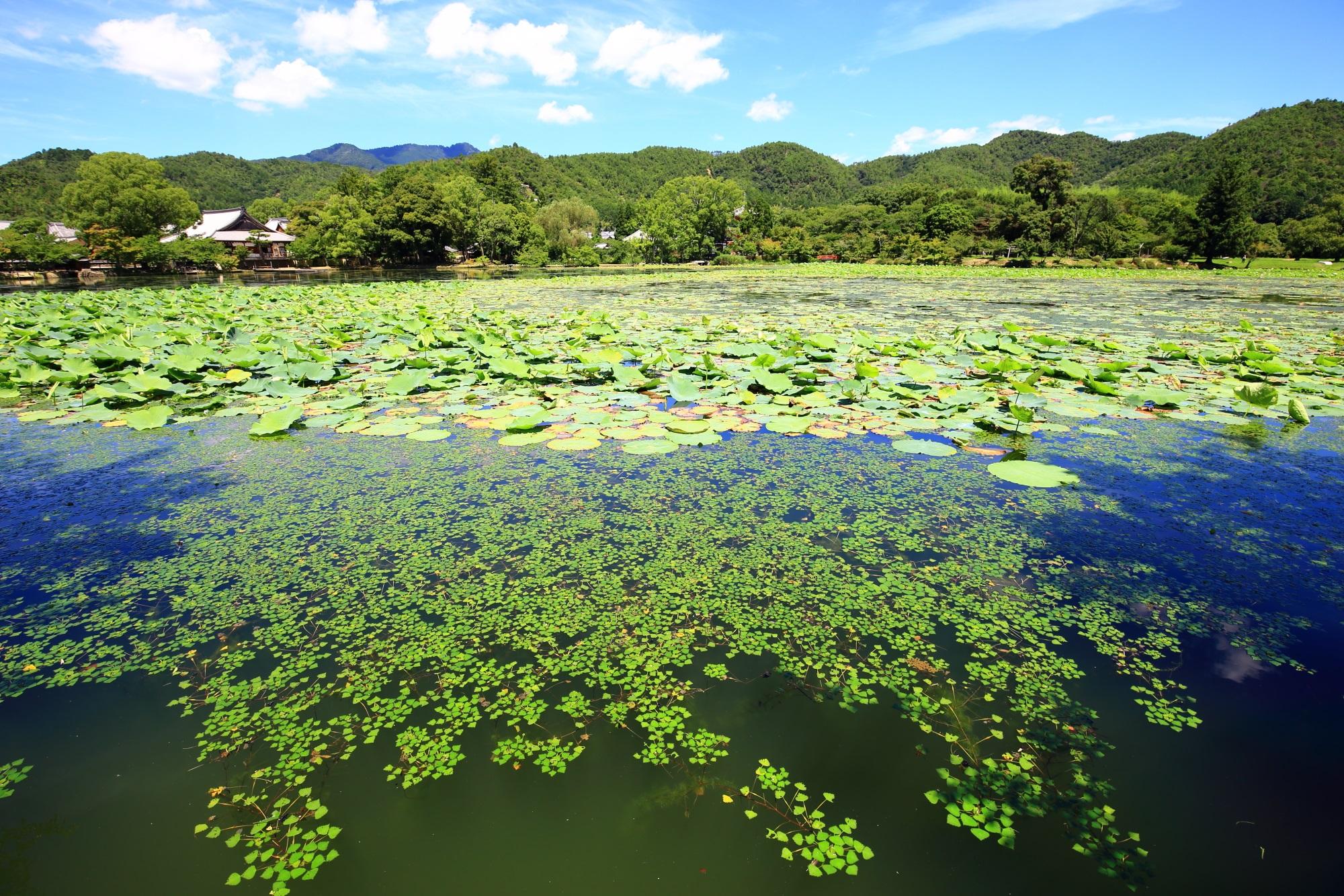 大沢池の綺麗な淡い緑の浮き草
