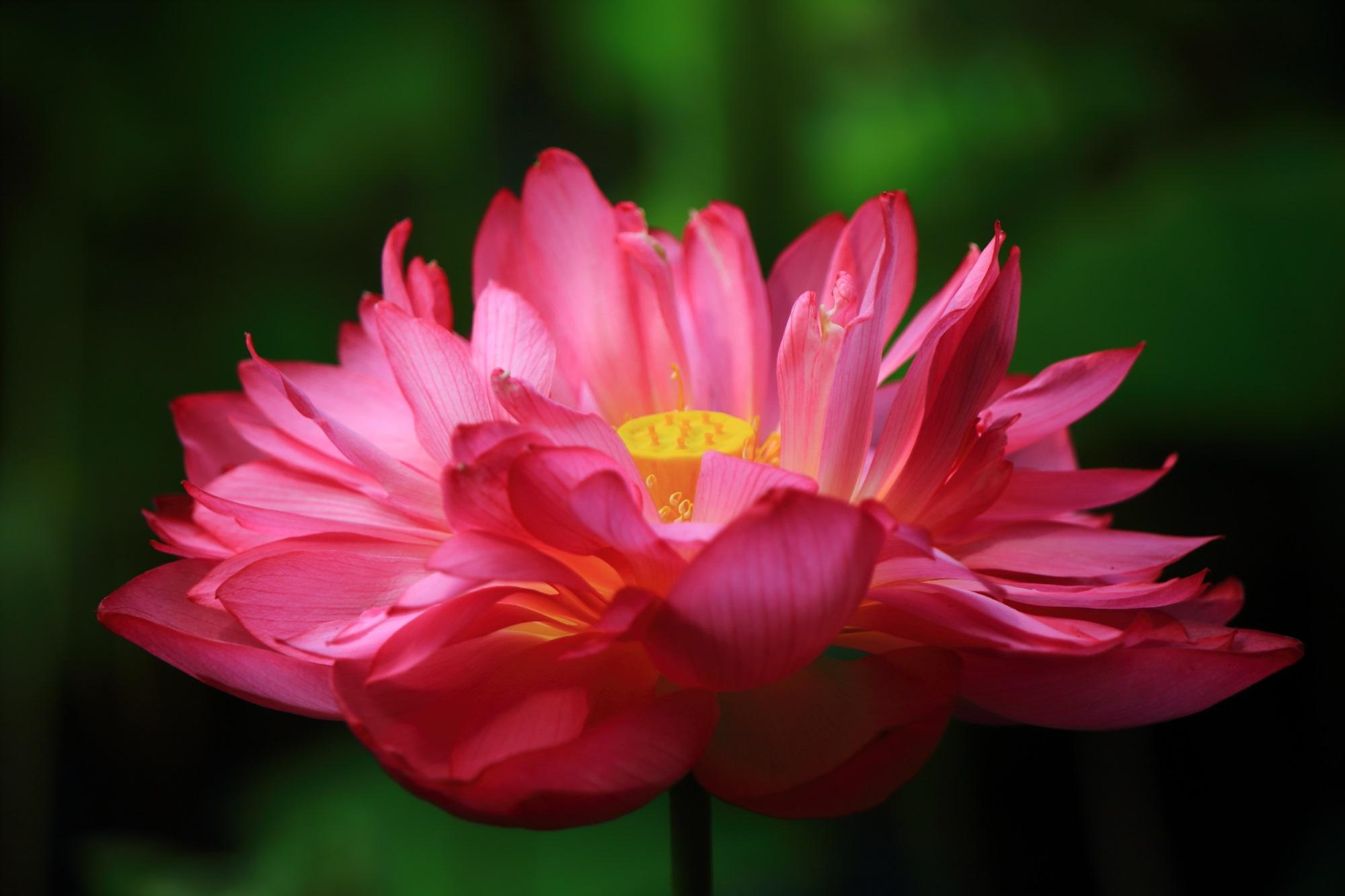 勧修寺の優雅に咲き誇る絶品の蓮の花