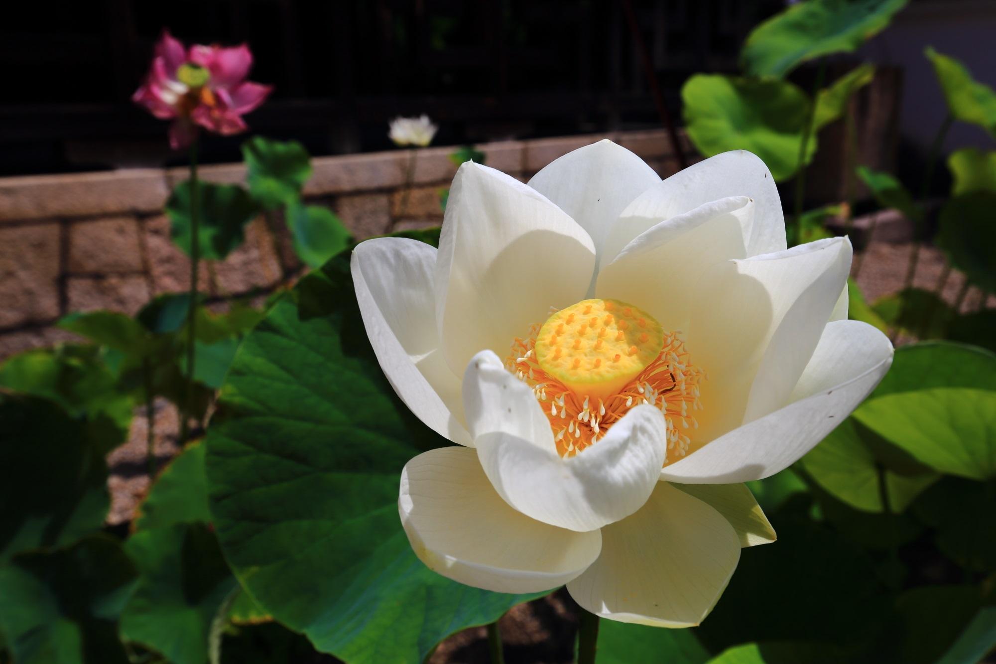 萬福寺の開山堂前の元気いっぱいに咲く純白の蓮の花