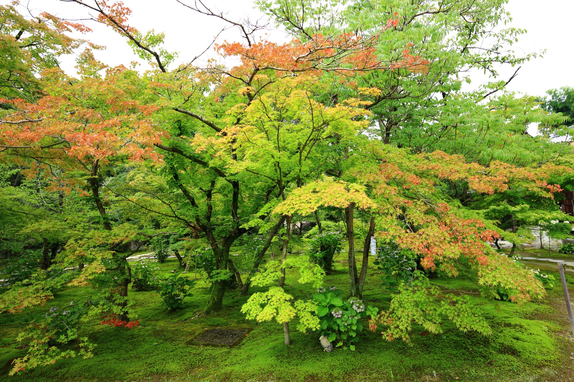 勧修寺の庭園をつつむ見事な青もみじ