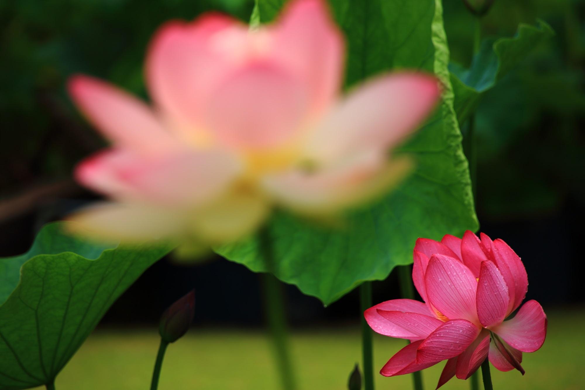 淡く華やかな花の奥で炎のように鮮やかに咲く蓮の花