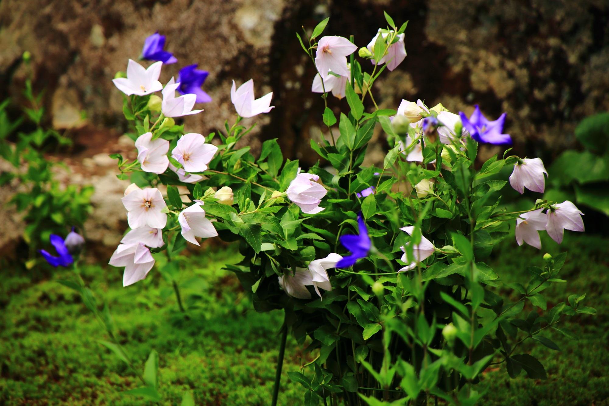 天得院の華やかな白い桔梗の花