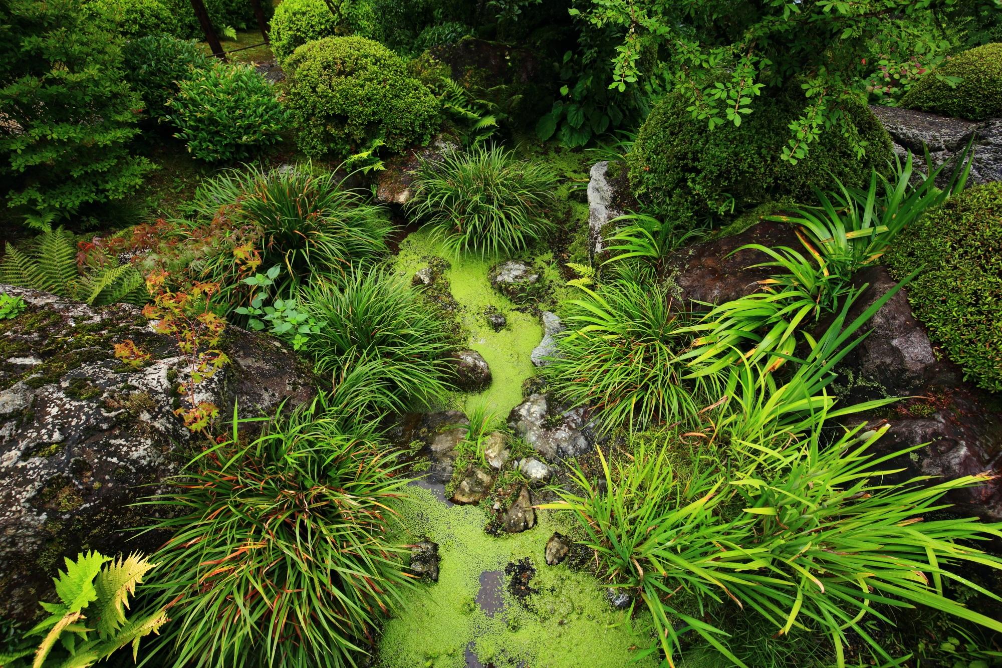 早朝の雨によって美しさを引き立てられた池泉式庭園の緑
