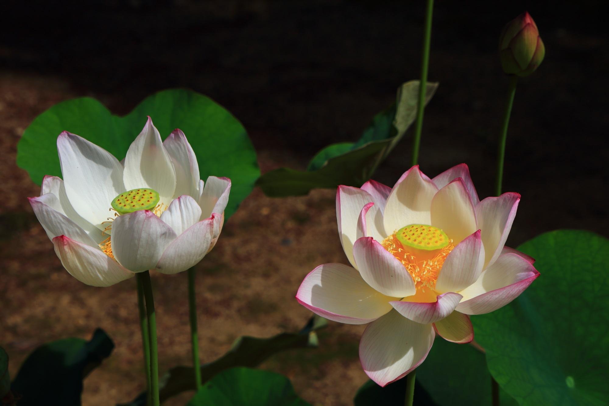 萬福寺の開山堂前の蓮鉢の蓮の花