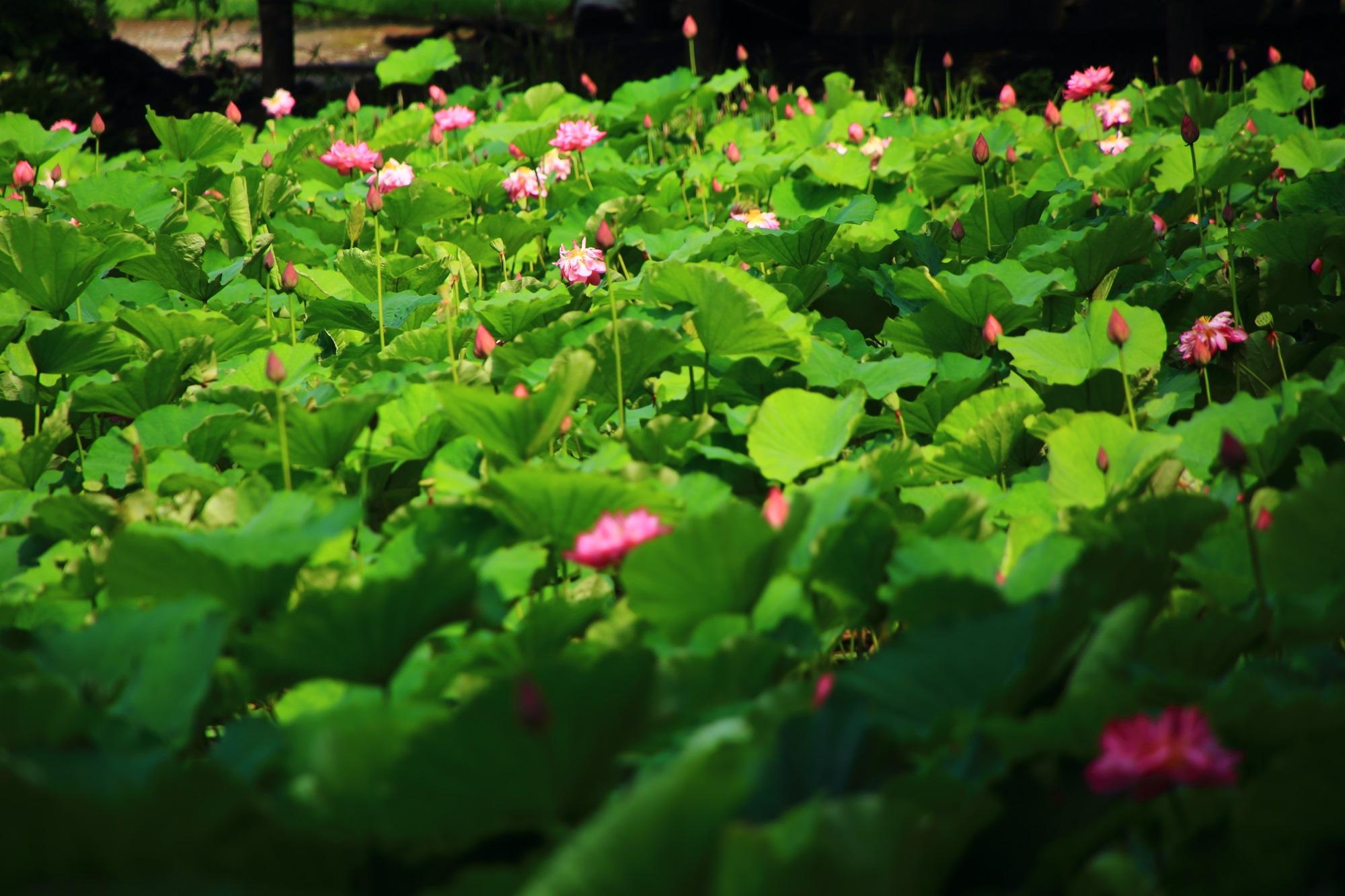 賑やかに咲き誇るピンクの蓮の花と波のような緑の蓮の葉