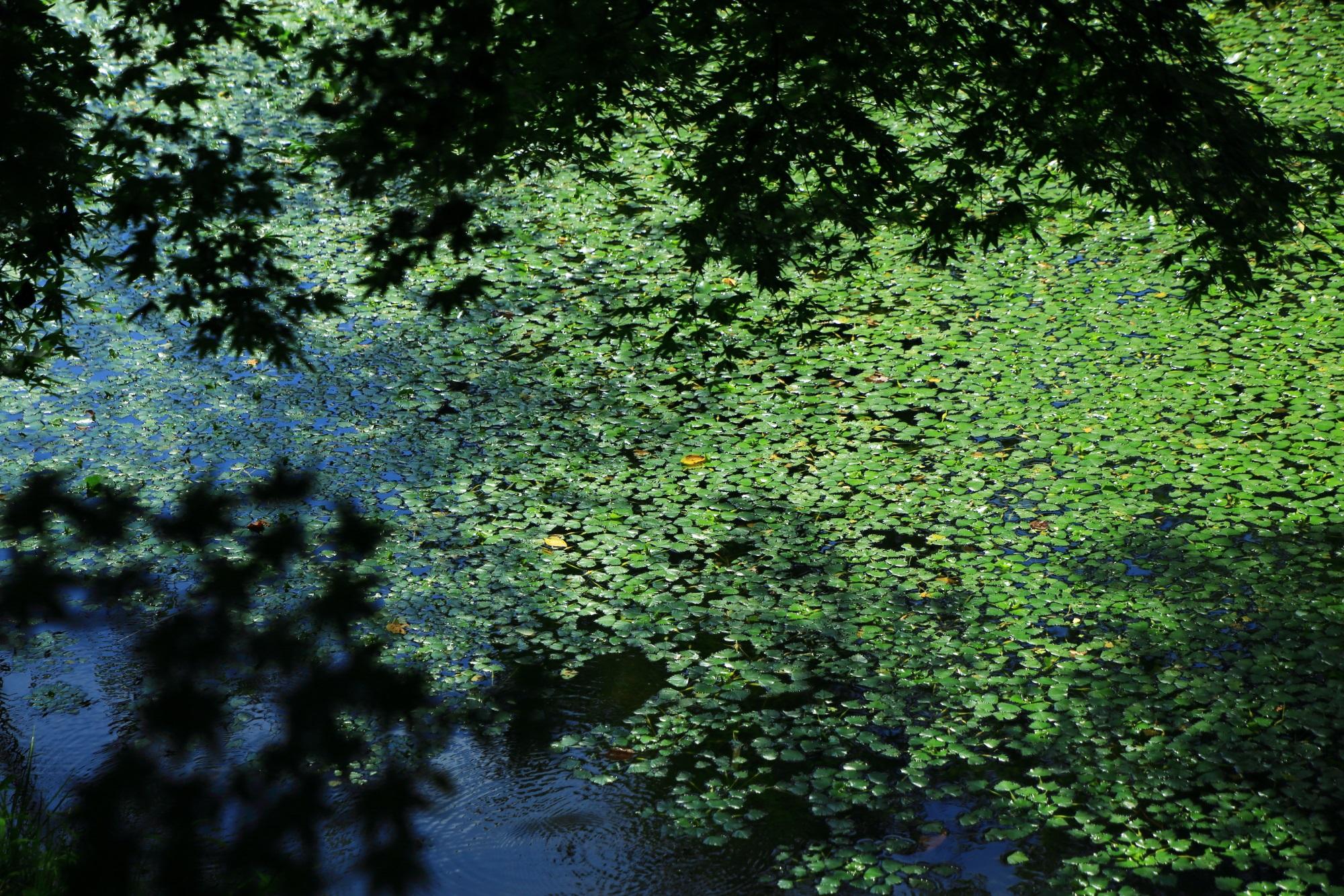 大覚寺の大沢池の水面と浮き草を演出する青もみじと影