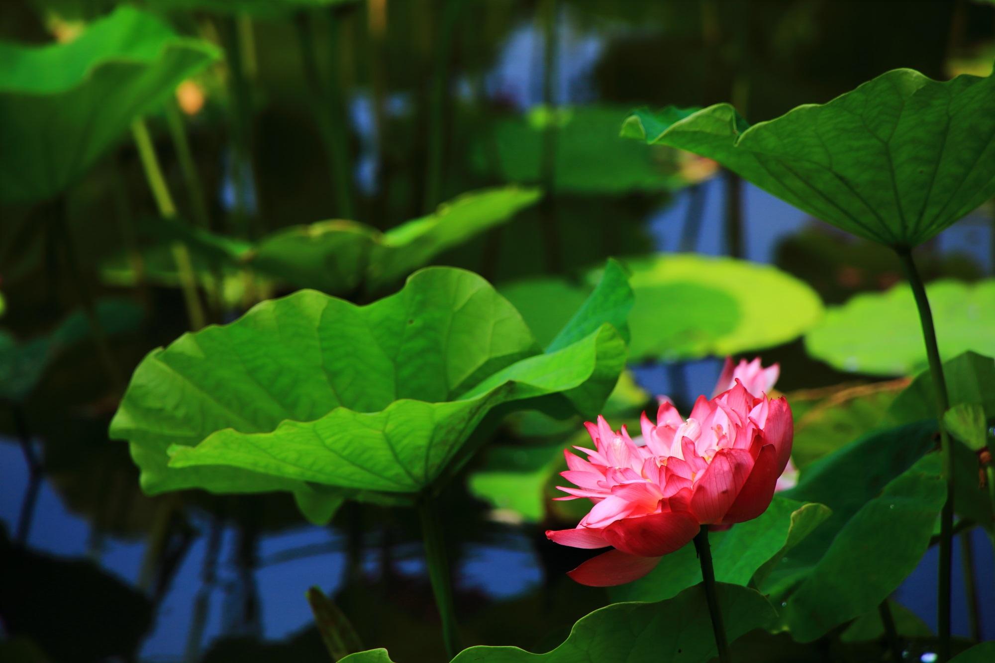 勧修寺の鮮やかに煌くピンクの蓮の花
