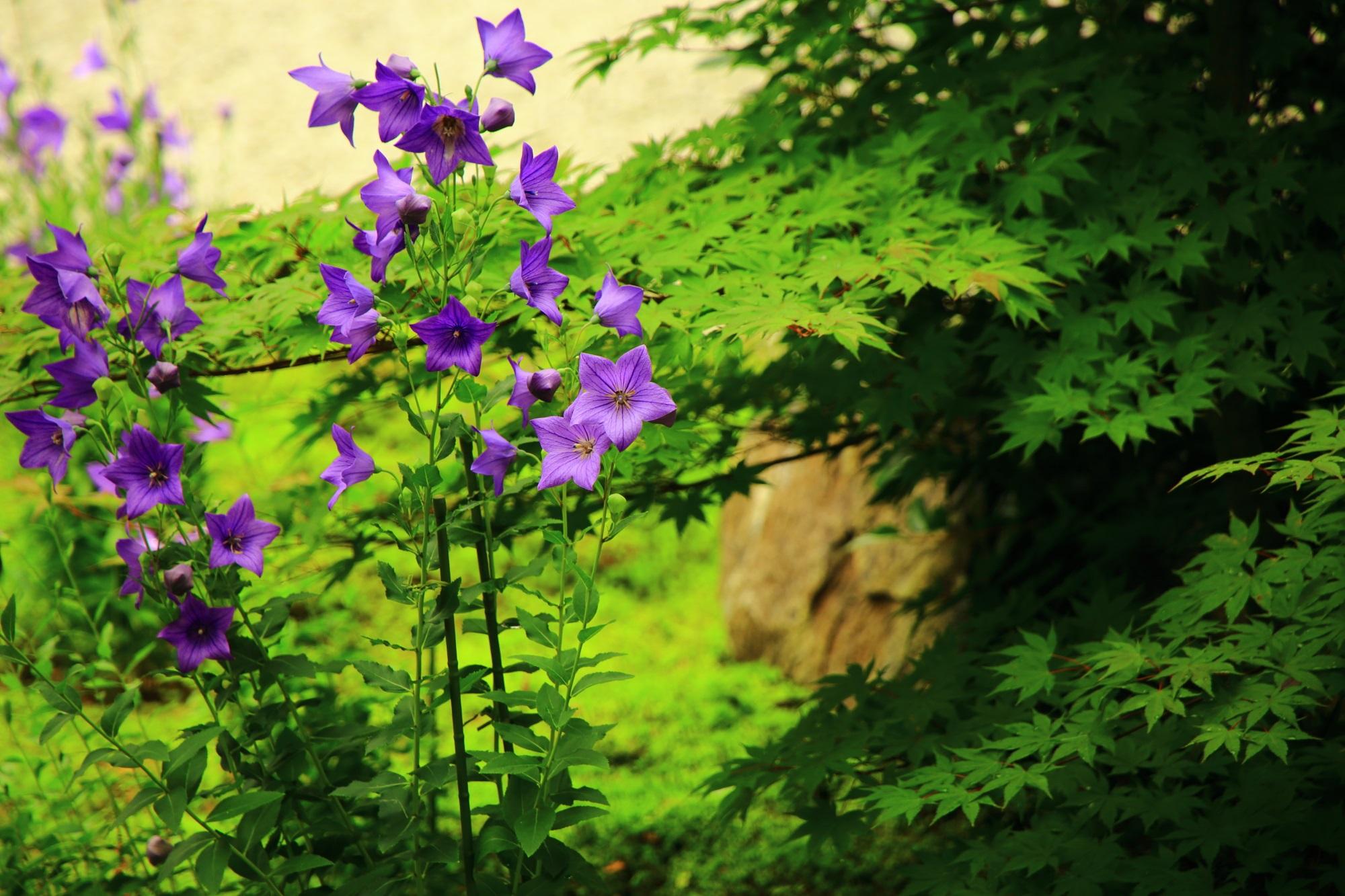 廬山寺の淡い緑に映える鮮やかな紫の桔梗