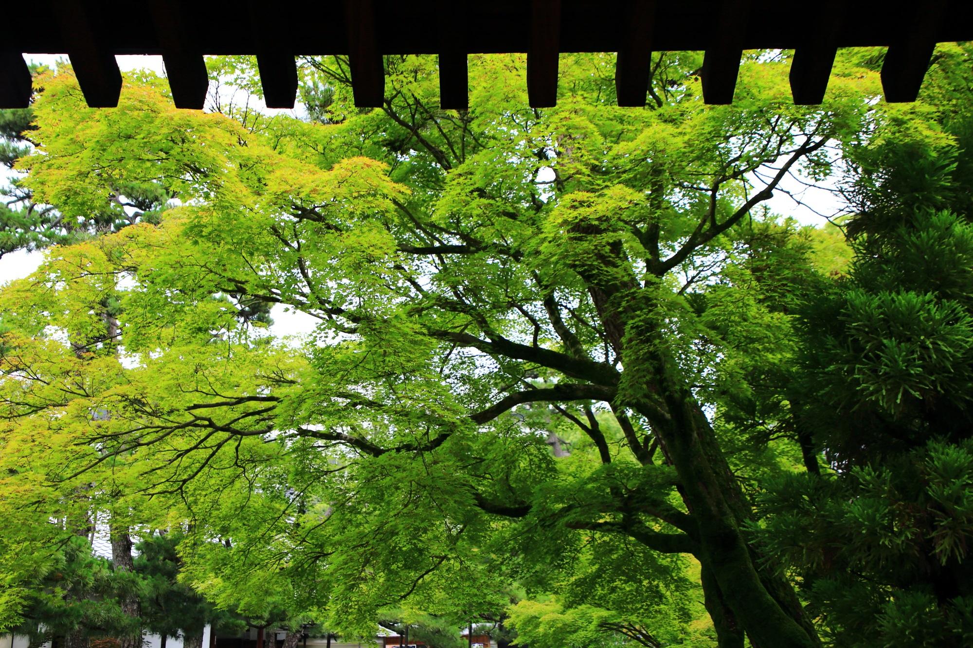 緑の空間が広がる廬山寺の黒門付近の青もみじ