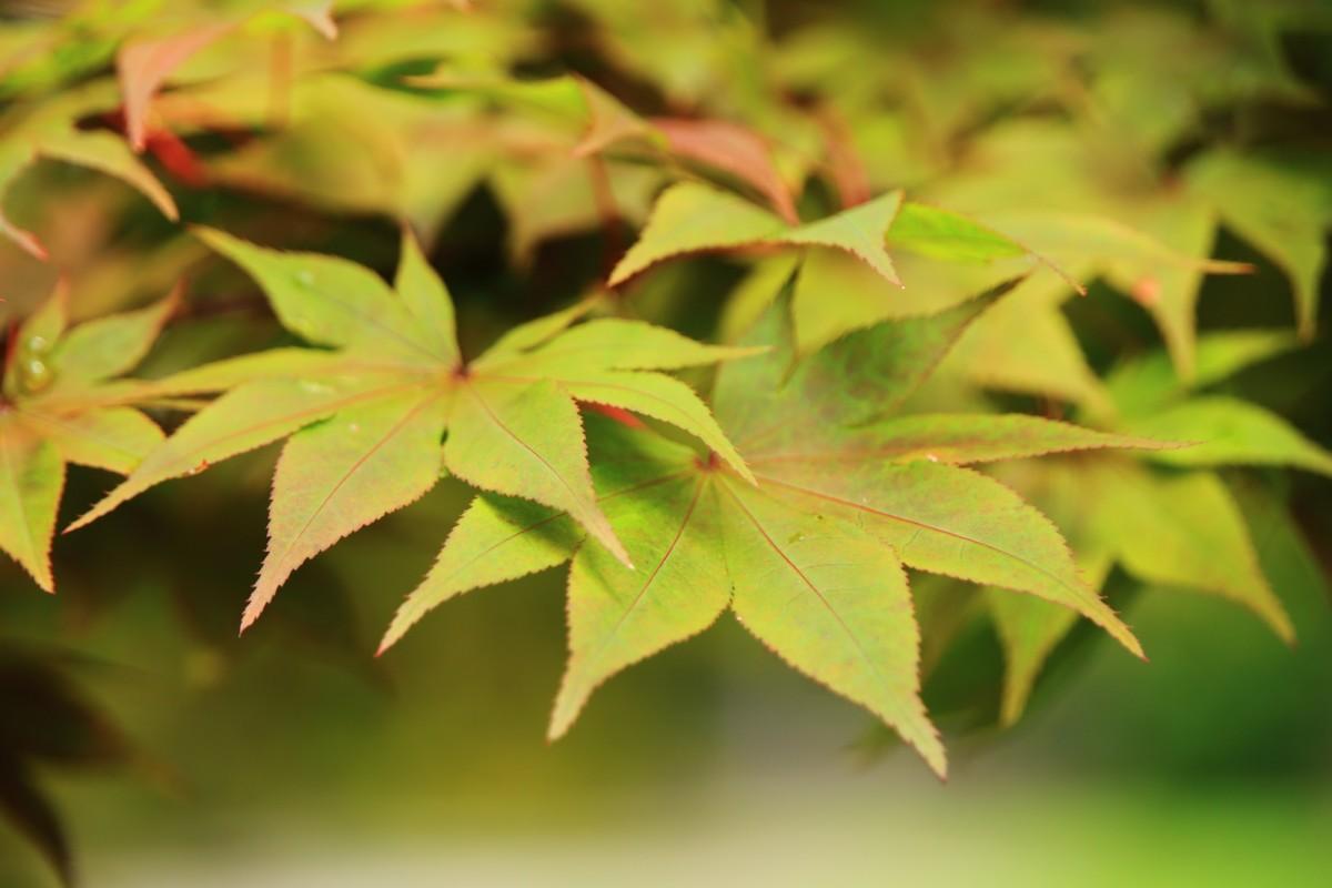 勧修寺の葉をいっぱいに広げる優雅な青もみじ