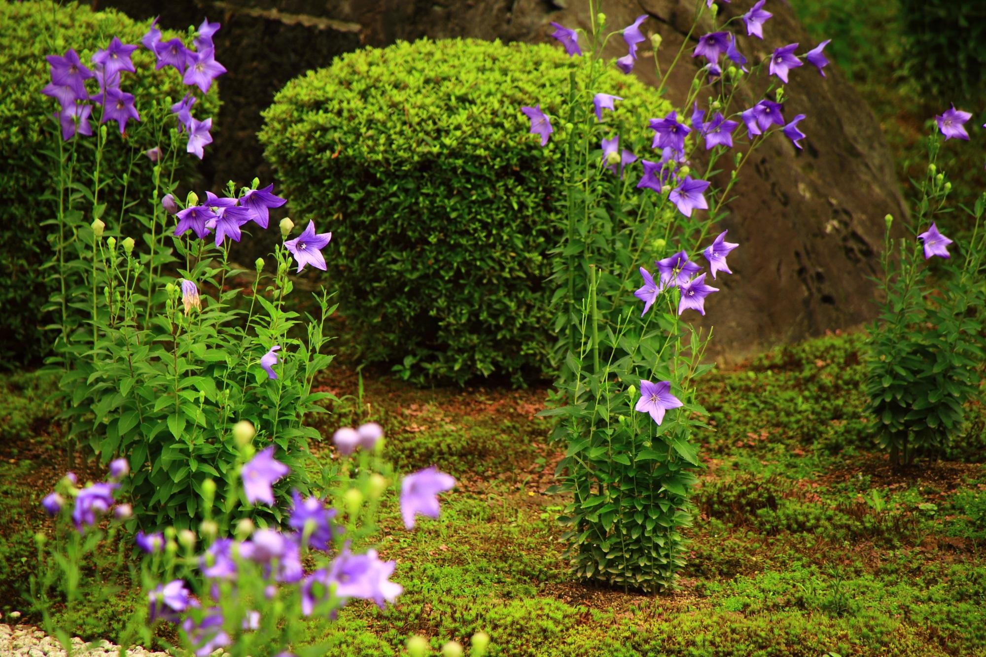 いろんな方向を向く廬山寺の桔梗の花