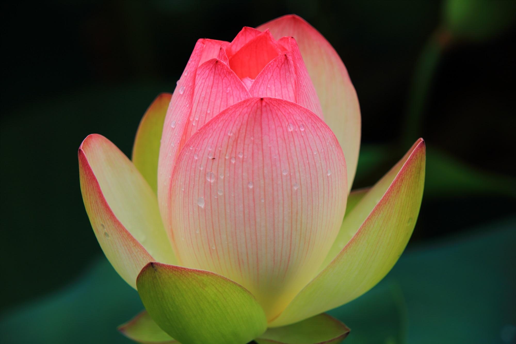 花に葉の緑が残る上品な雰囲気のする蓮の花