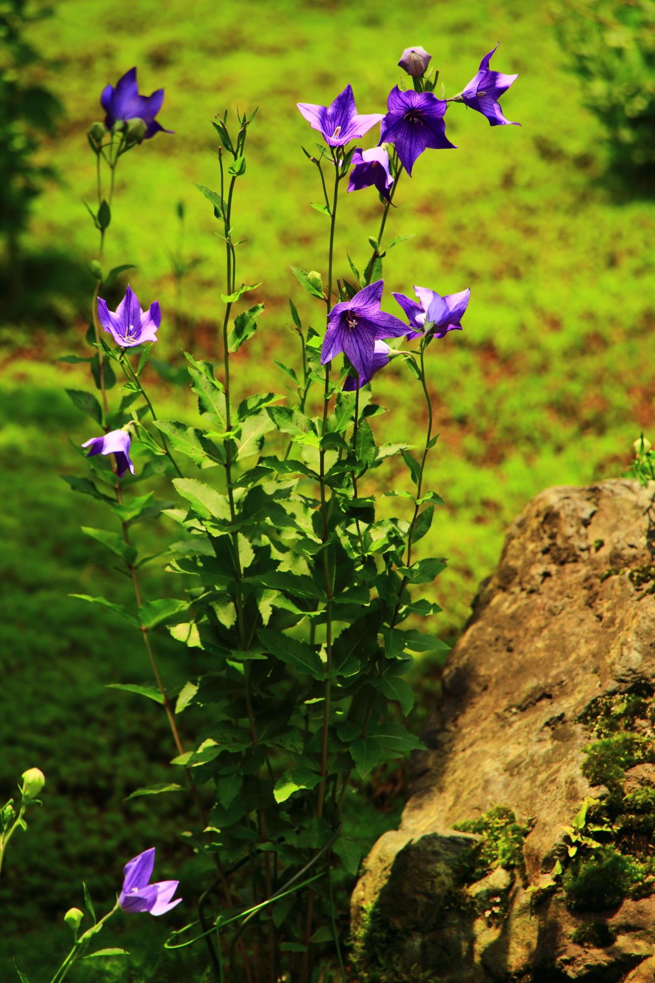 煌く紫の桔梗の花で賑わう「桔梗の寺」