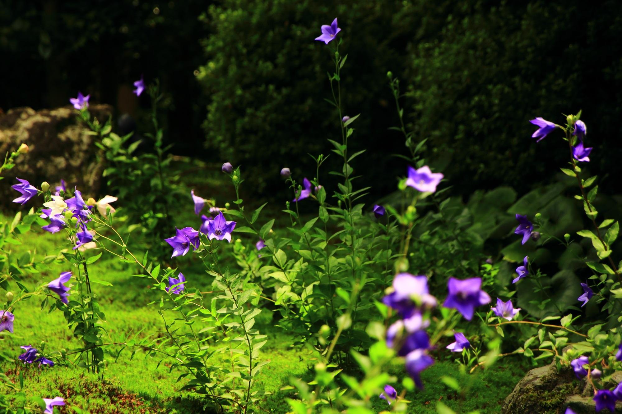桔梗の花が咲き揃う「桔梗の寺」と呼ばれる天得院