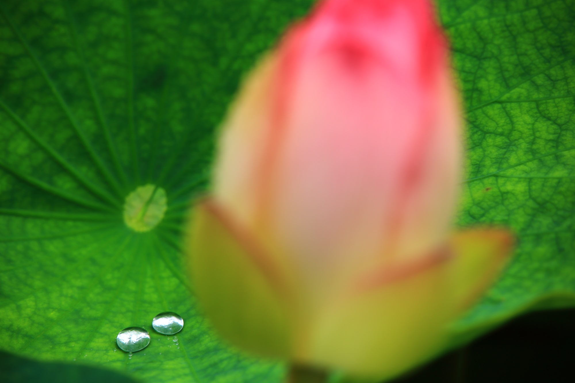 はすの花の傍らで葉に溜まるスライムのような可愛い雨水