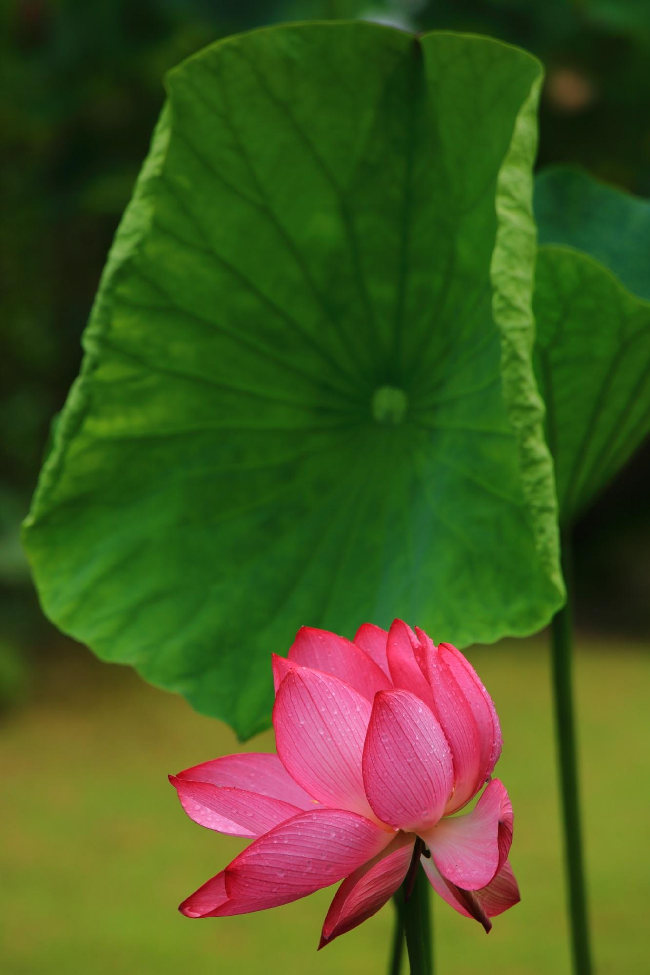 緑の葉を盾にしたかのような淡く煌くピンクの蓮の花