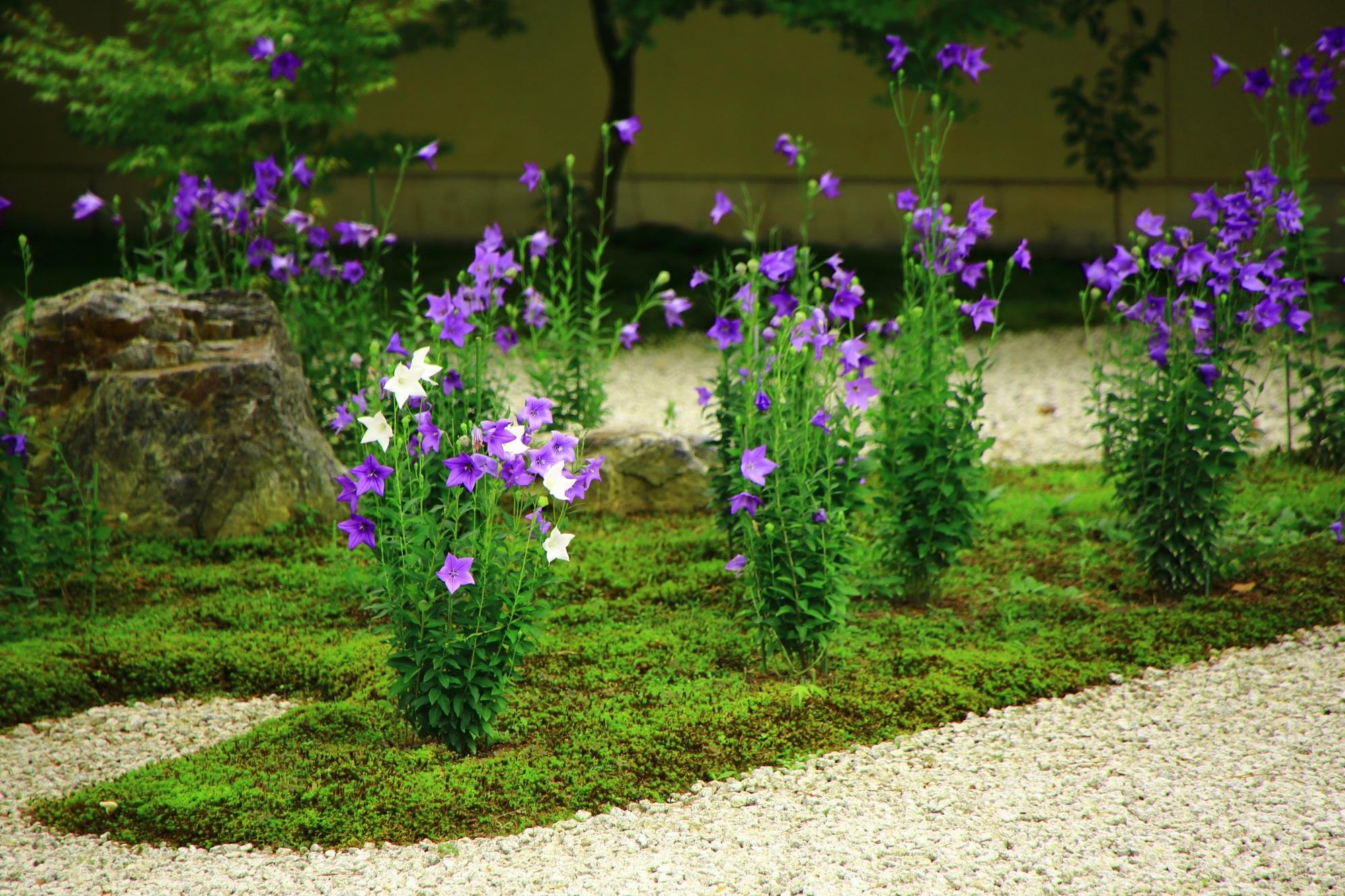 満開の桔梗の花で溢れる初夏の廬山寺
