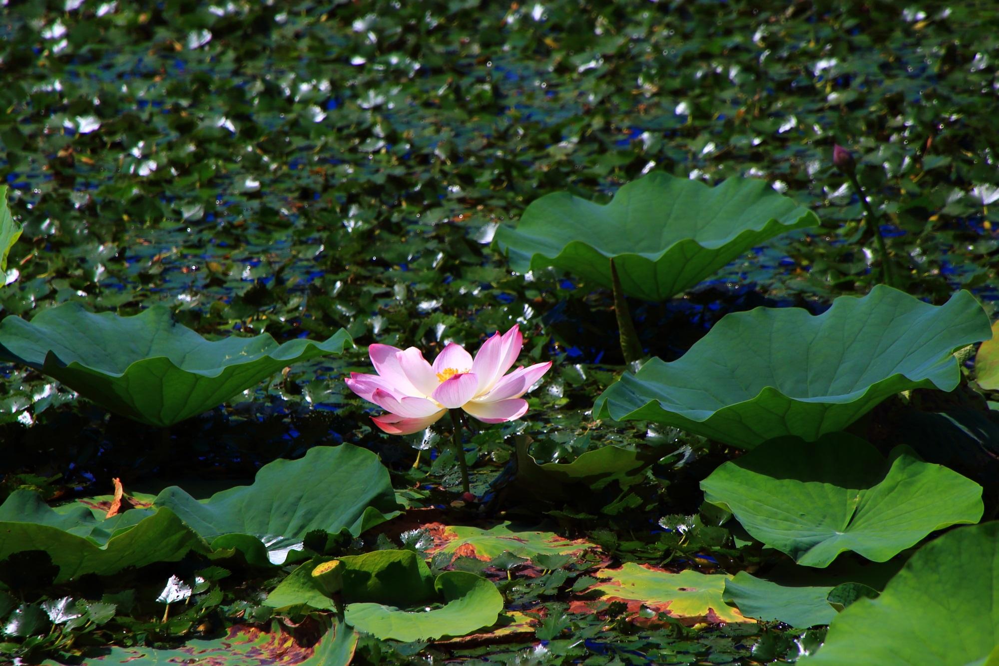 大覚寺の濃い緑の上で夏風にそよぐピンクの蓮の花