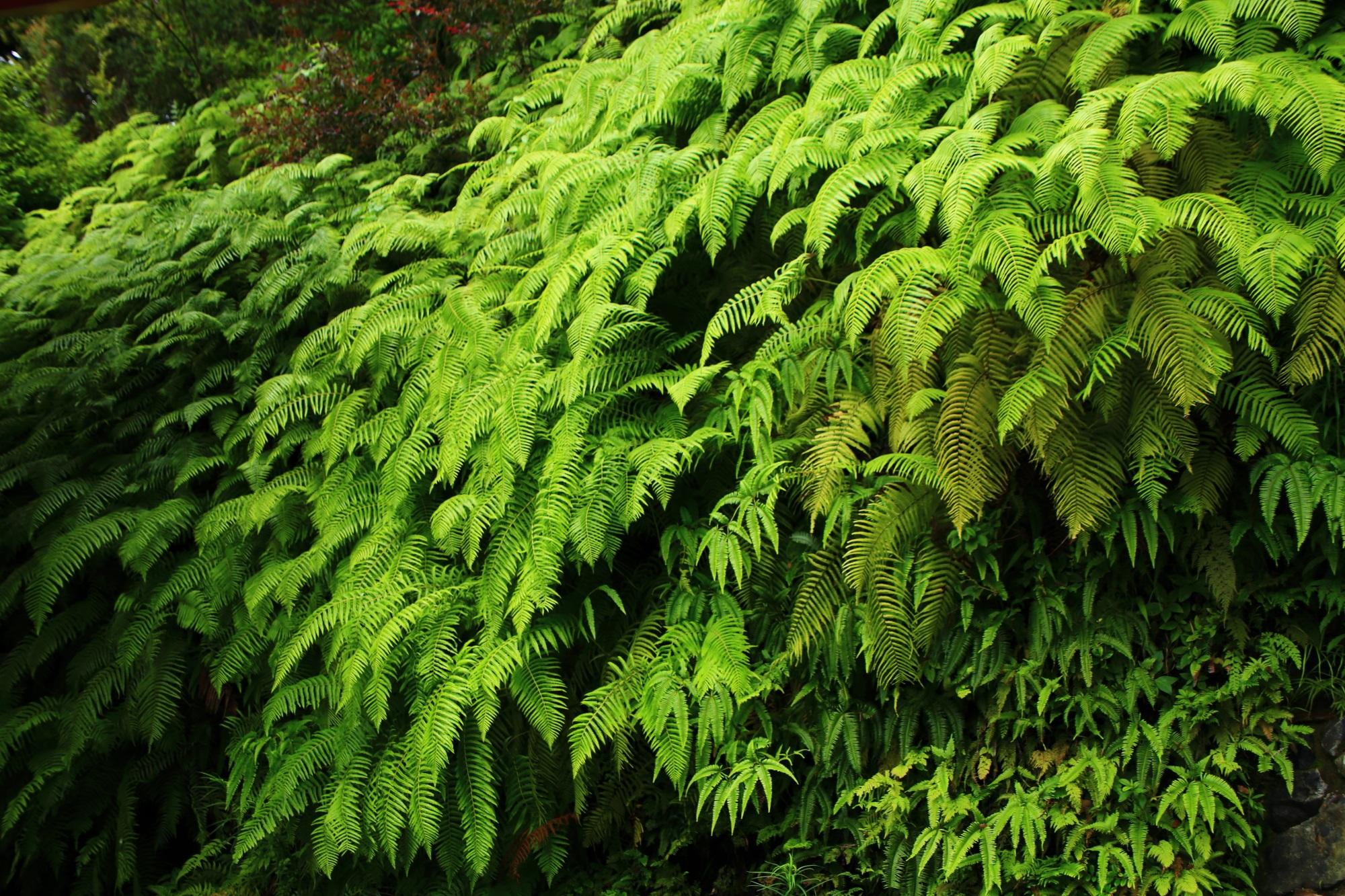 生命力が溢れる三室戸寺の緑の綺麗なシダ