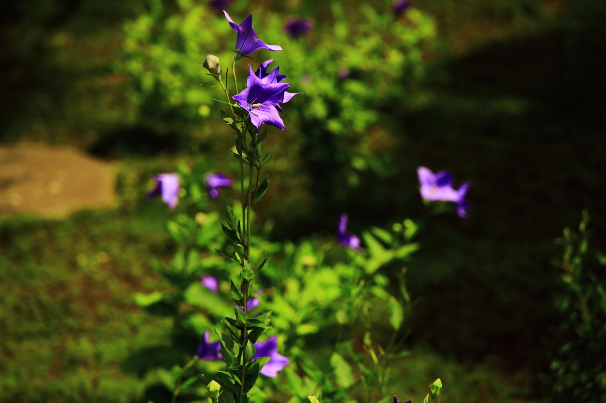 艶のある美しい紫色をした天得院のききょう
