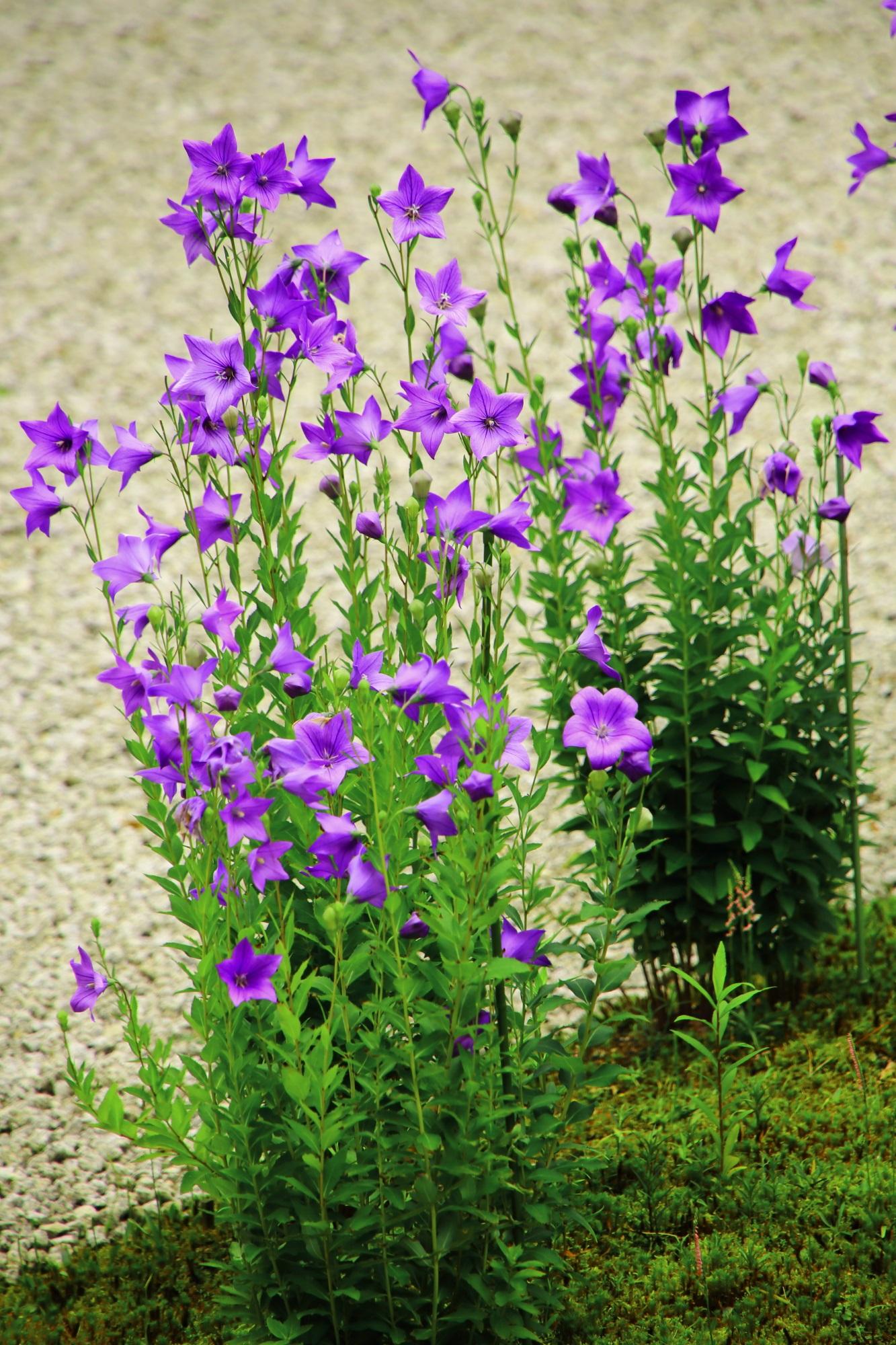 真っ直ぐに伸びて優雅に咲く華やかな紫の桔梗
