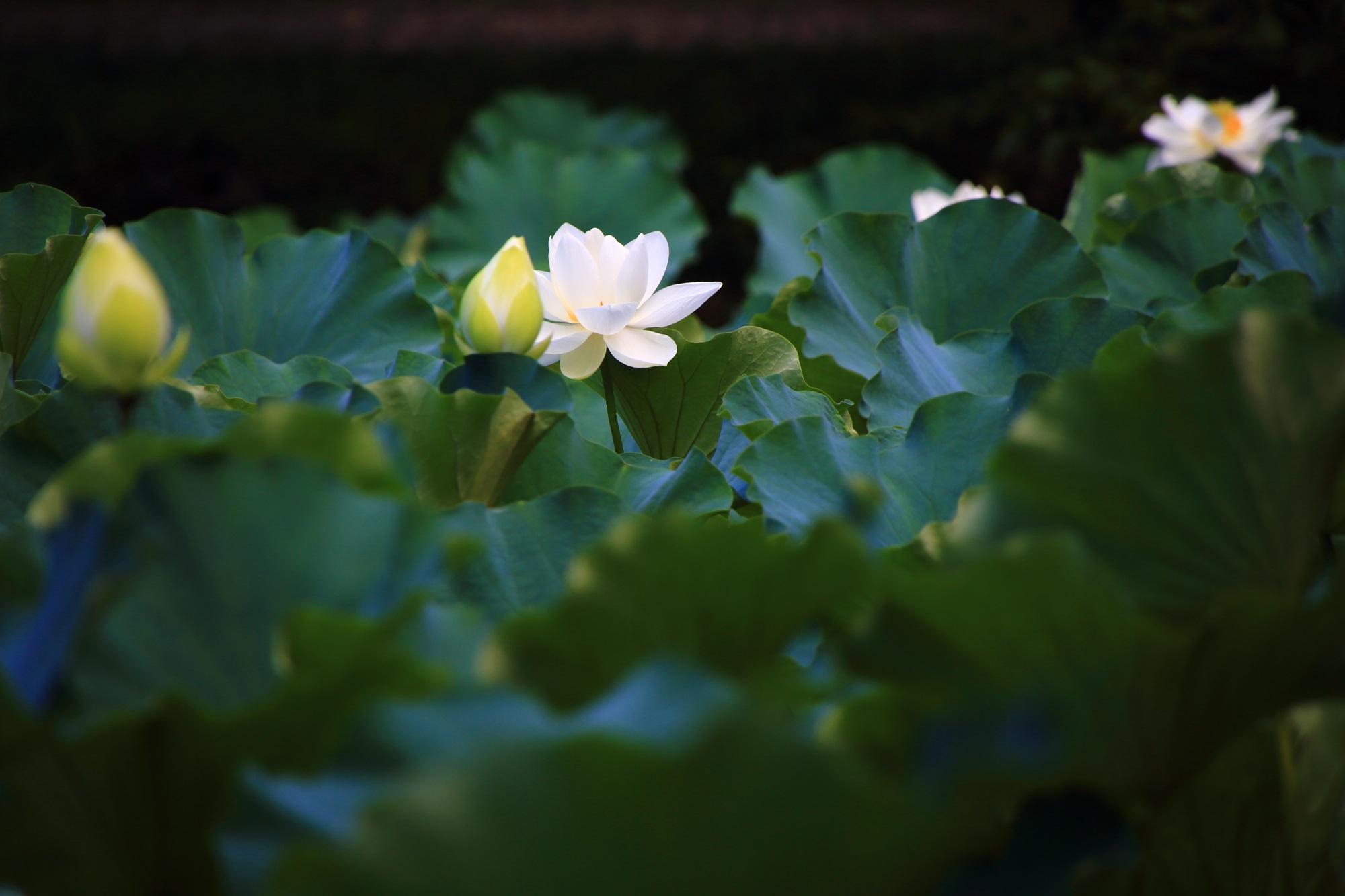 大覚寺の深く落ち着いた緑の中で灯るように咲く白い蓮の花