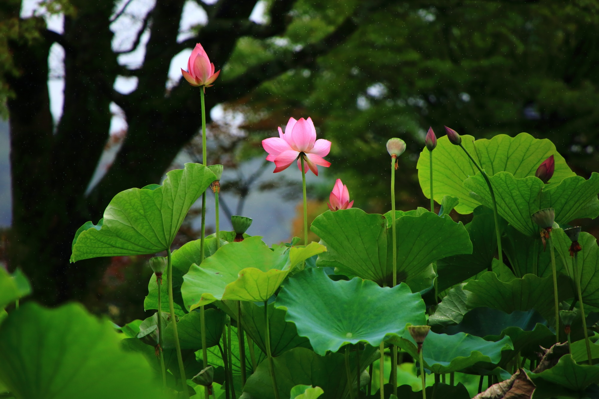 季節ごとに花々が咲くため「花の寺」と呼ばれる三室戸寺(みむろとじ)
