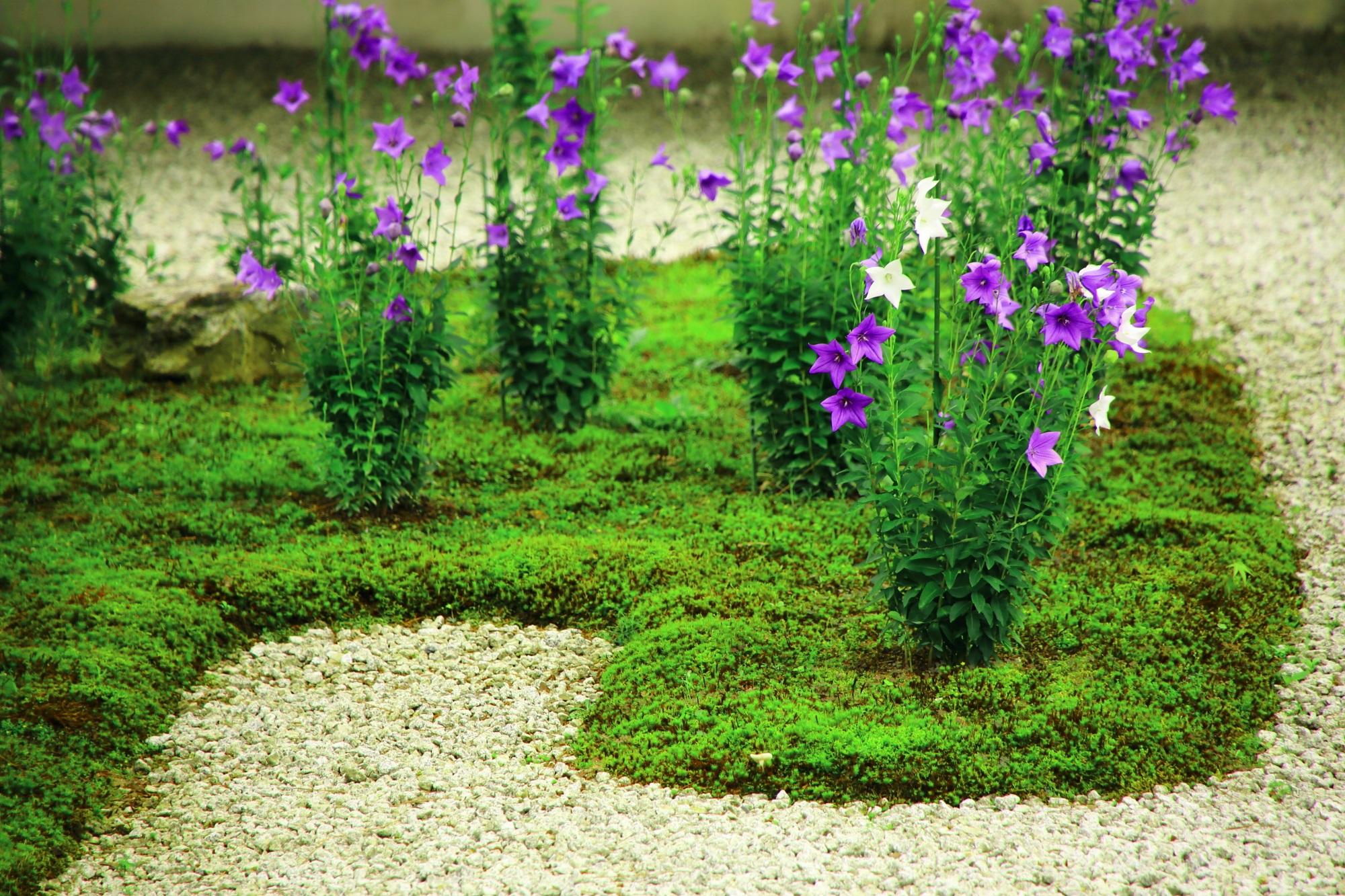 紫の花に混ざって咲く華やかな白い桔梗の花