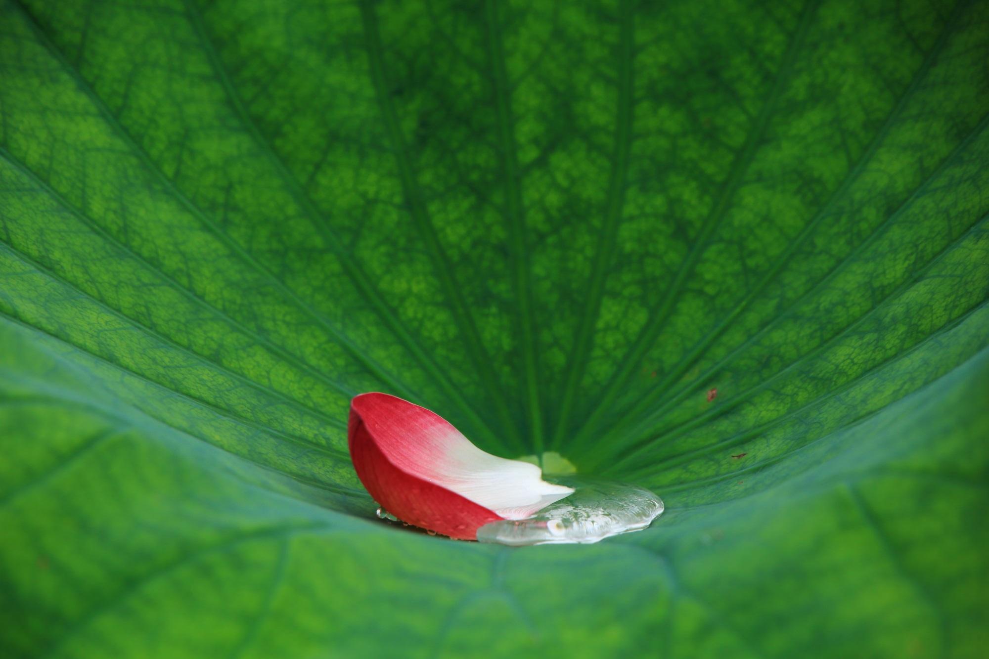 はすの葉に溜まった雨水と鮮やかな色合いの散った花びら