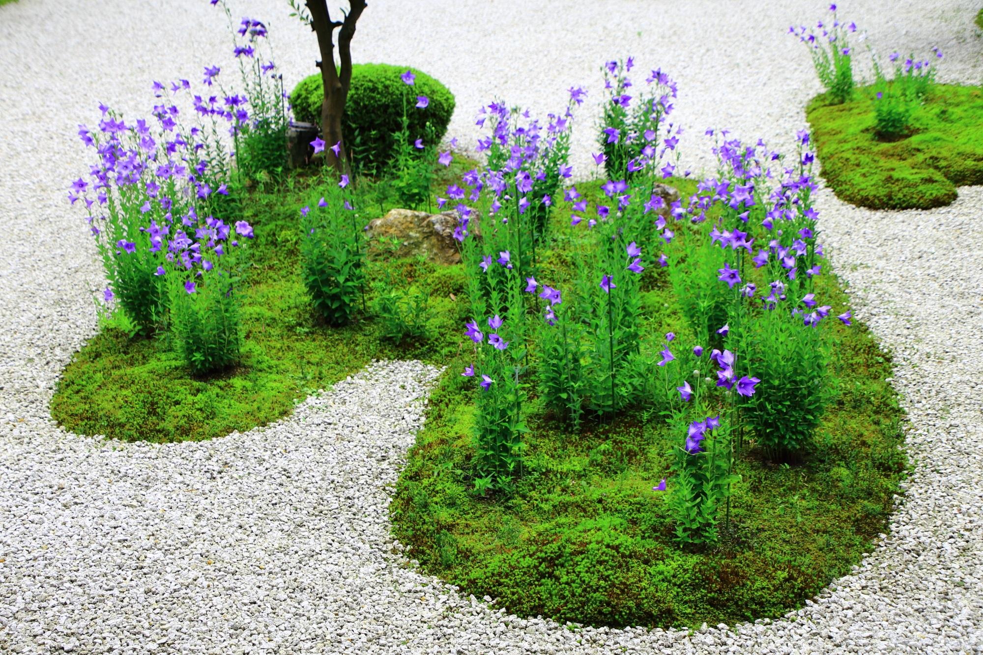 鮮やかな緑の苔の上で華やぐ艶やかな紫の桔梗