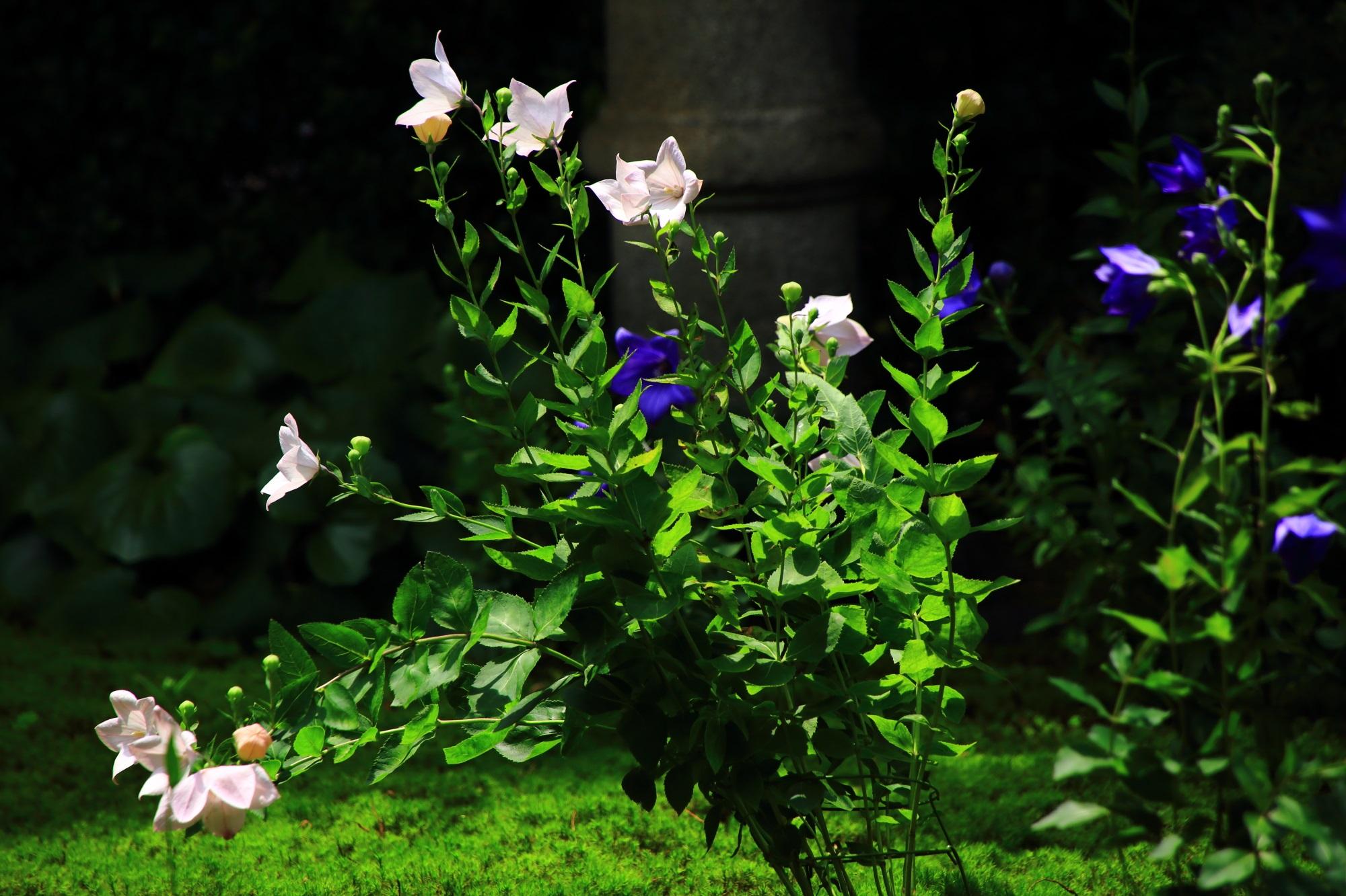 眩い緑に映える華やかな白い桔梗の花