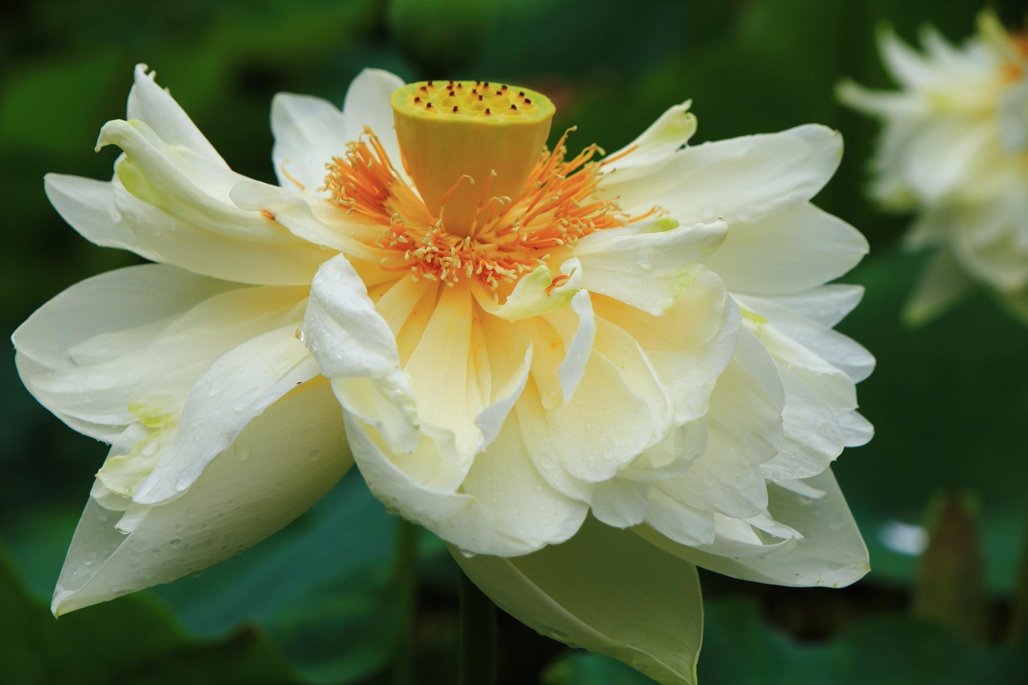 三室戸寺の花びらを大きくいっぱいに広げる見事な蓮