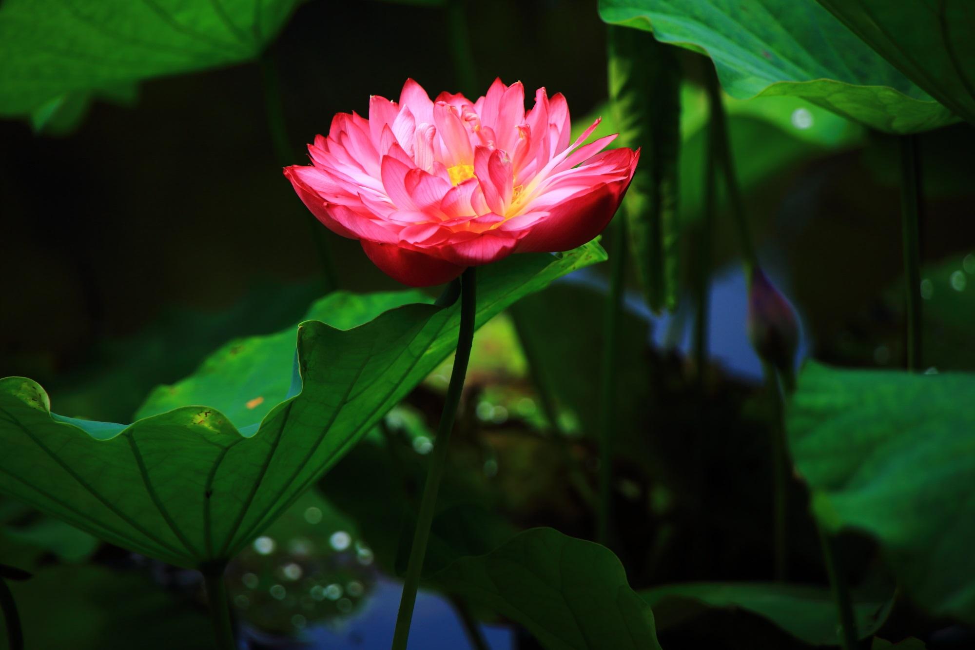 勧修寺の氷室池の花びらをいっぱいつけた艶やかなピンクの蓮の花
