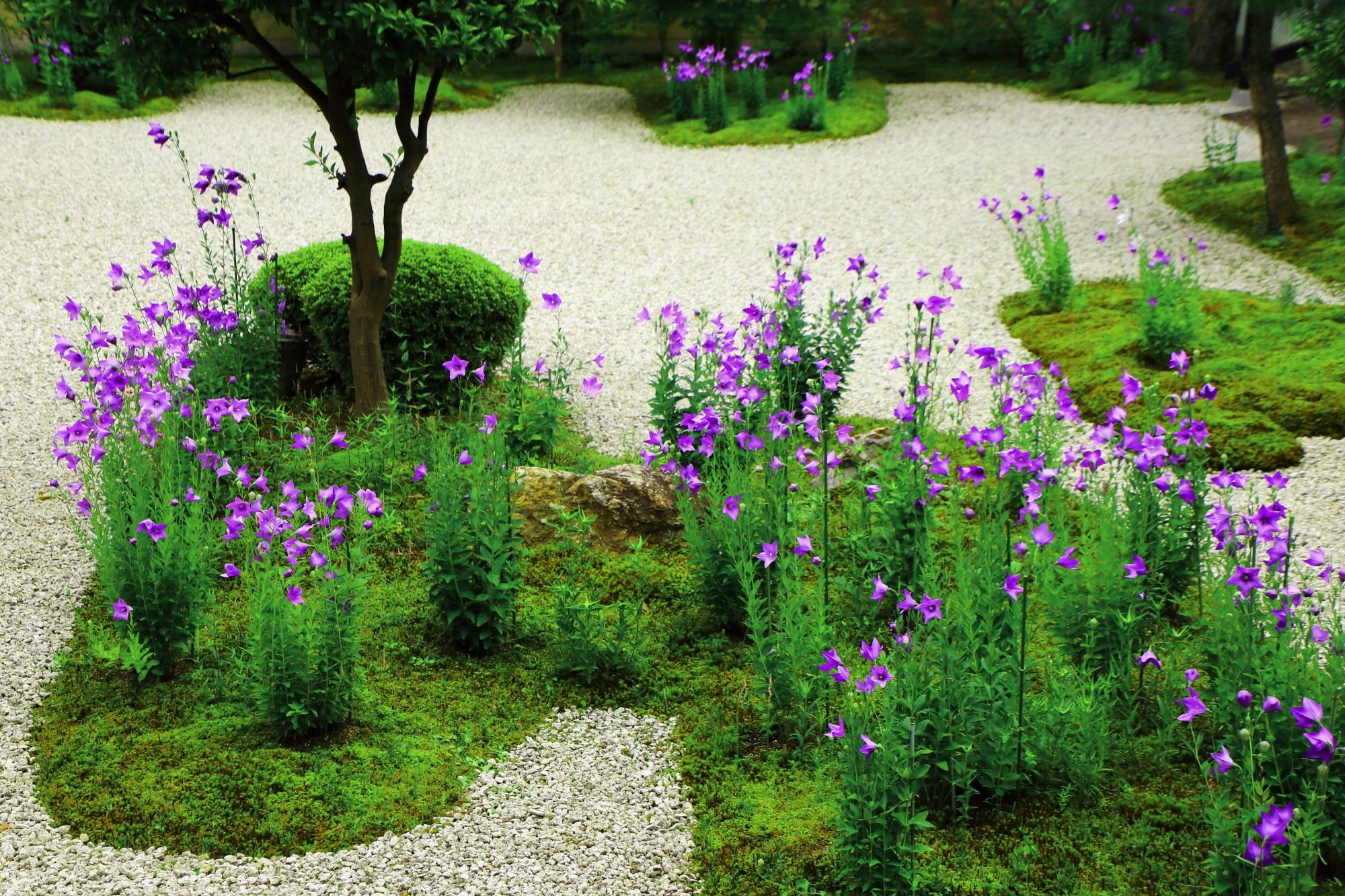 緑があってこそ美しい廬山寺の桔梗(ききょう)