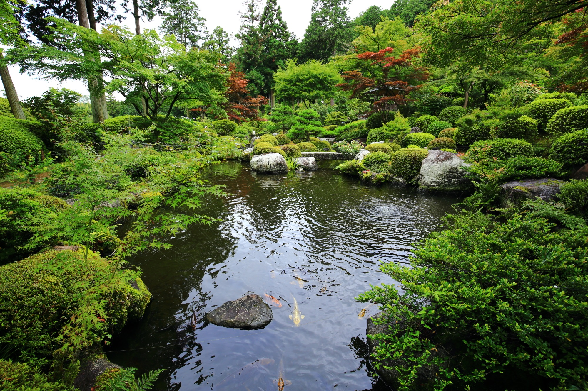 三室戸寺の池にいる鯉