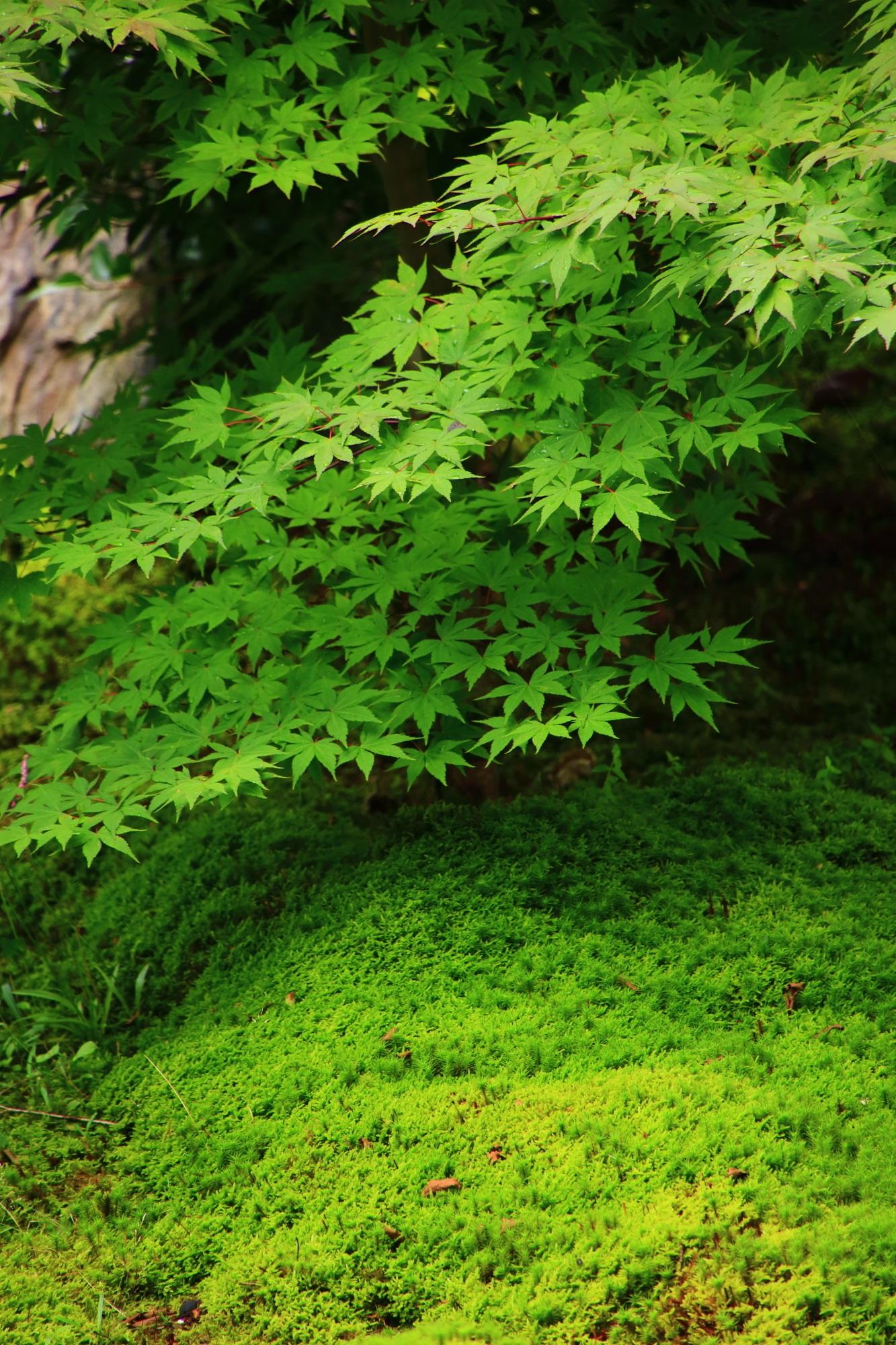 青もみじと苔の圧倒的な緑にそまる初夏の源氏庭