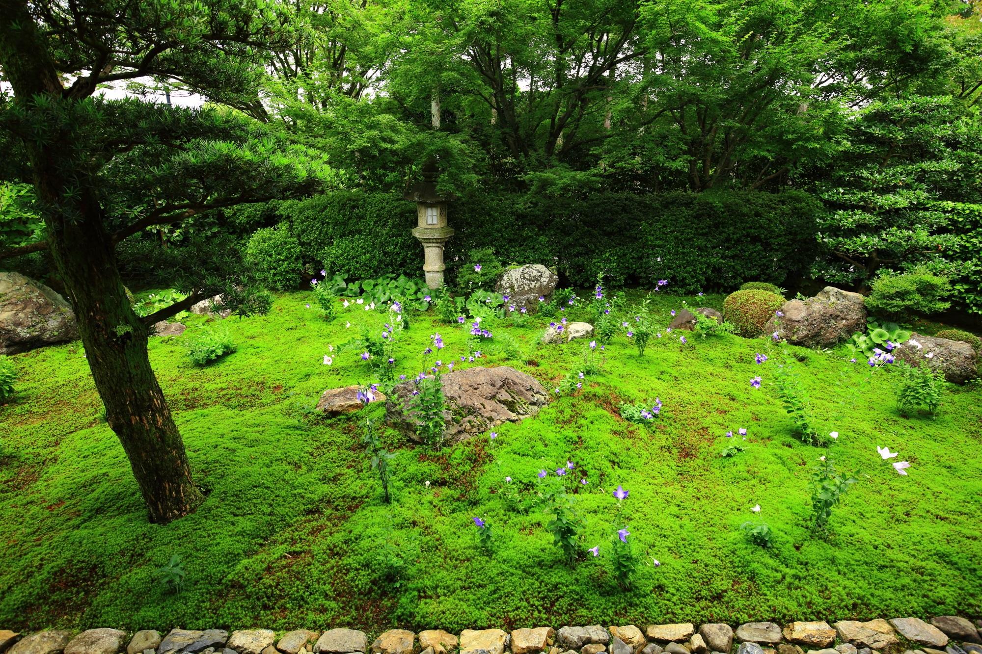 東福寺天得院の素晴らしい桔梗や苔と初夏の情景